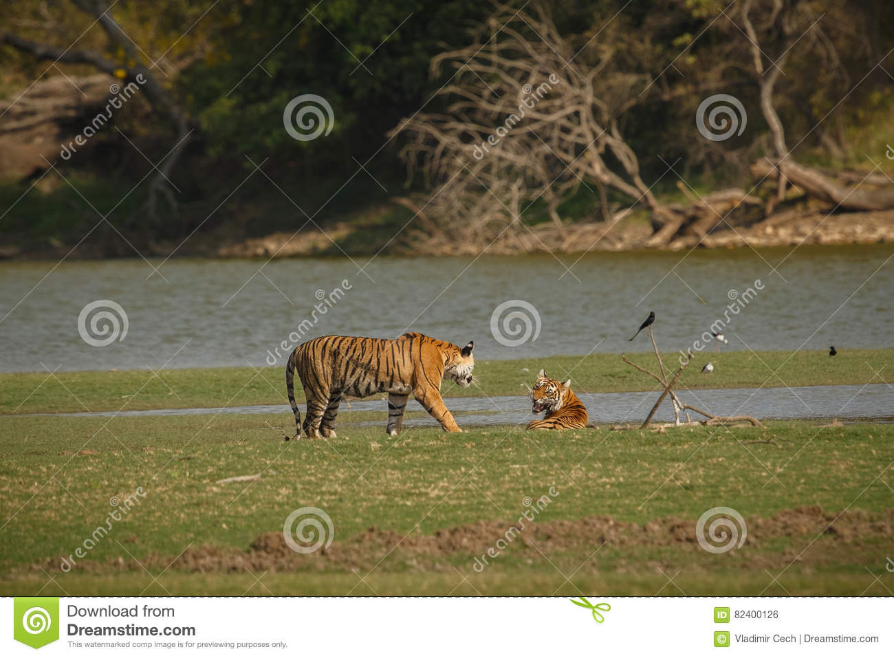 Tigers in the indian nature