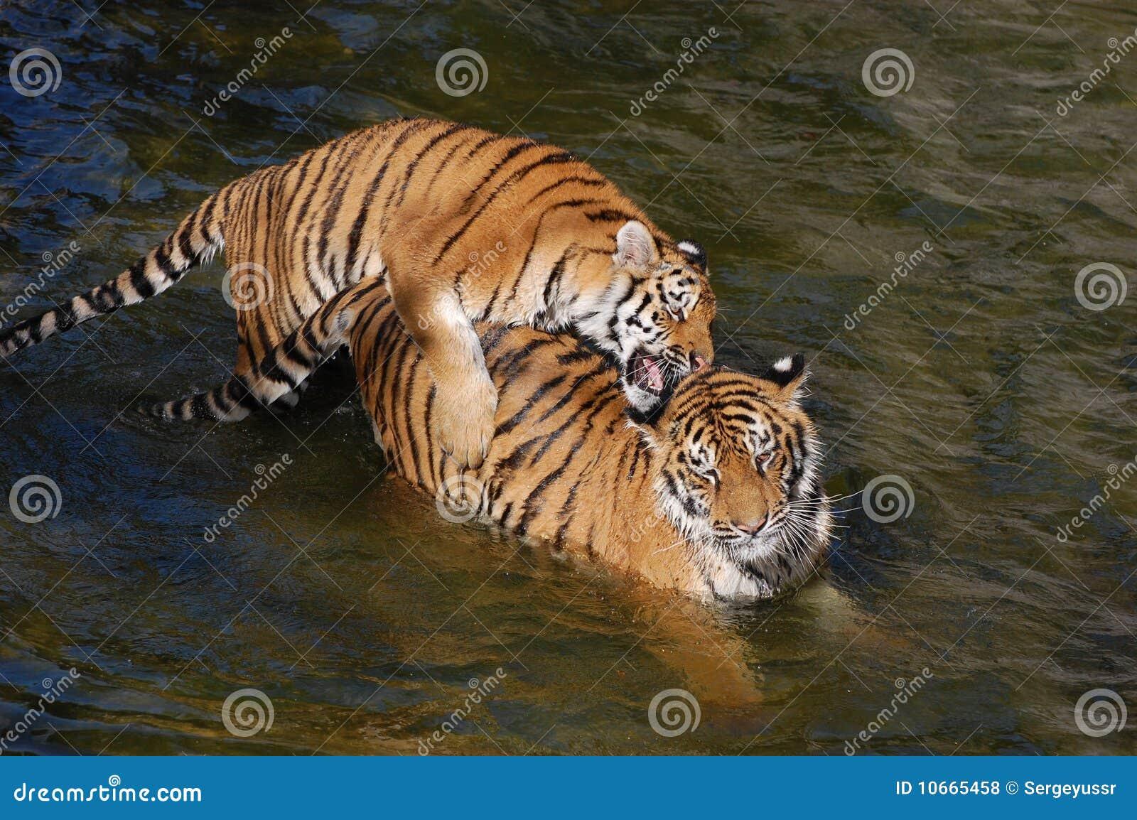 tigers киев