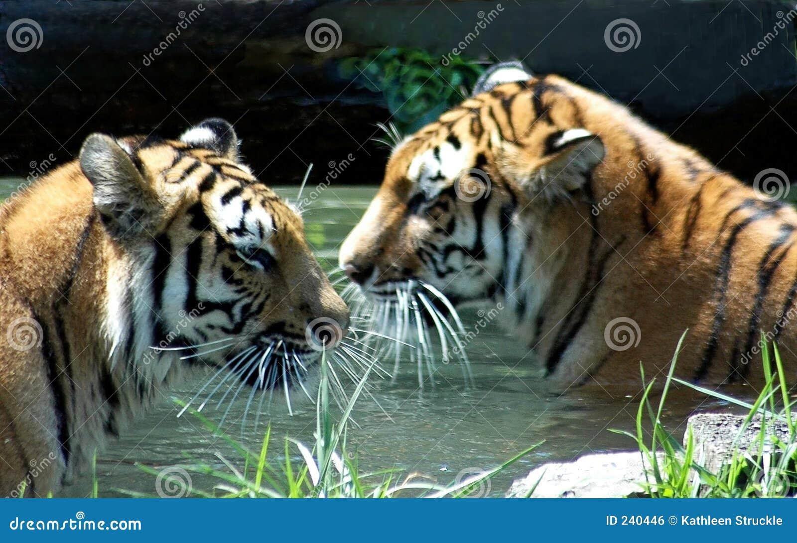 Tigers In Pool