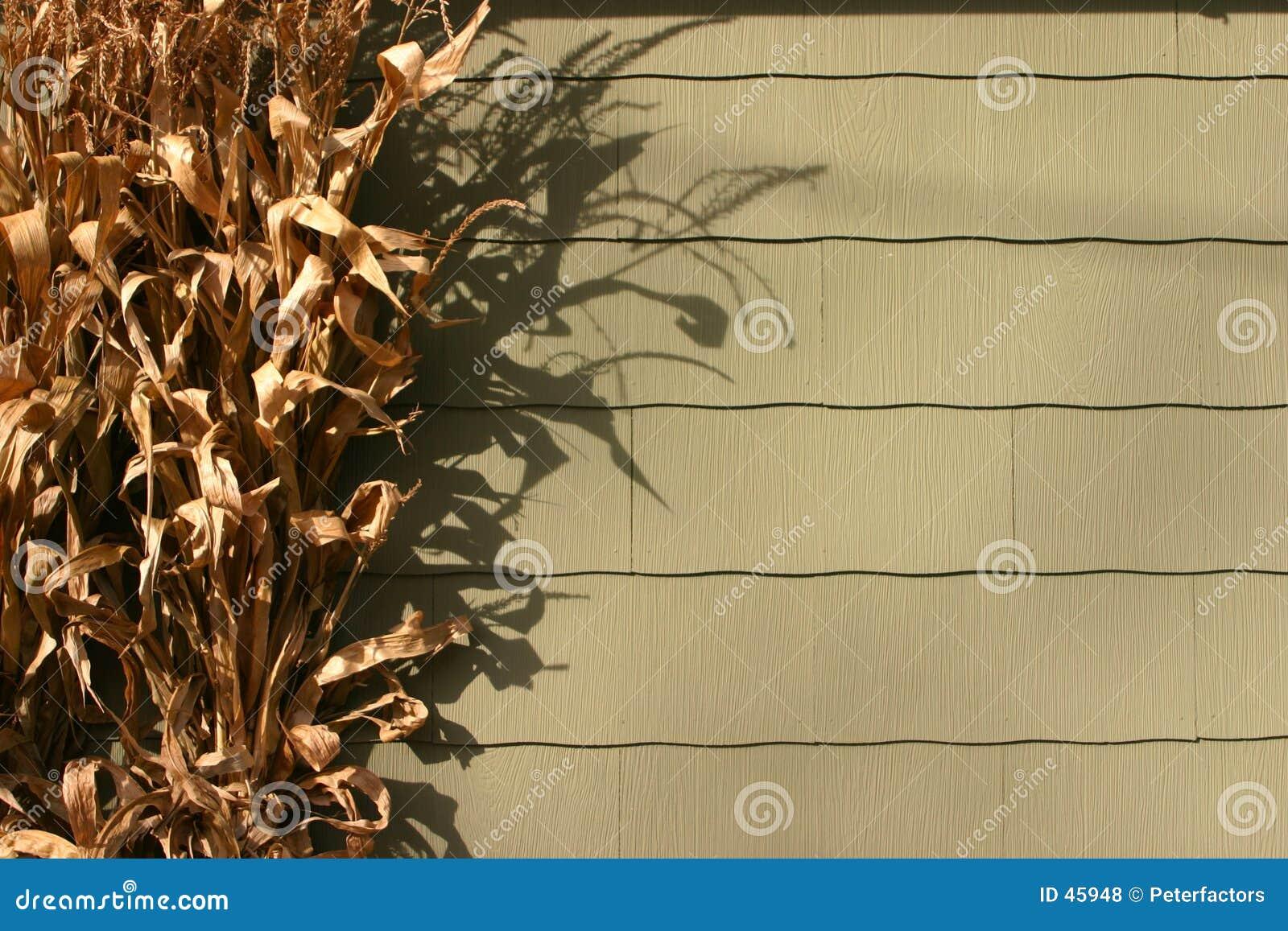 Tiges sèches de maïs