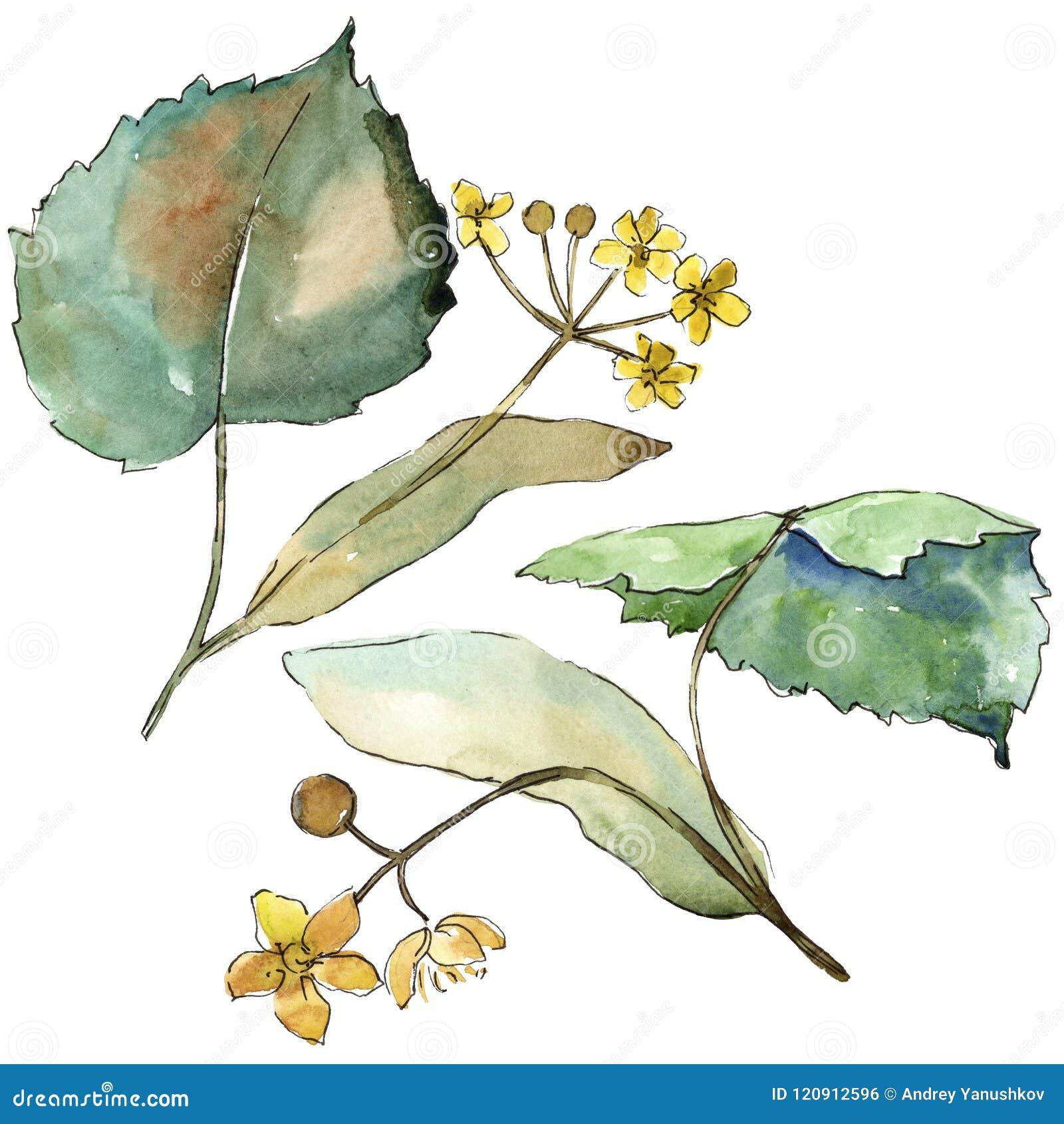 Tiglio delle foglie verdi Fogliame floreale del giardino botanico della pianta della foglia Elemento isolato dell illustrazione
