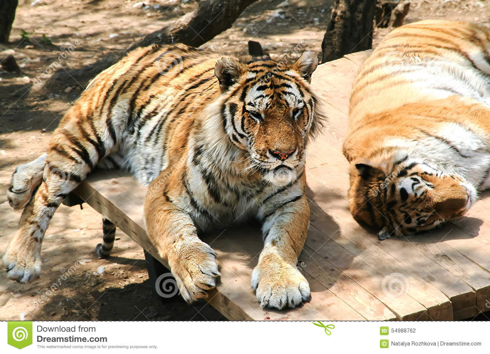 Tigrar vilar