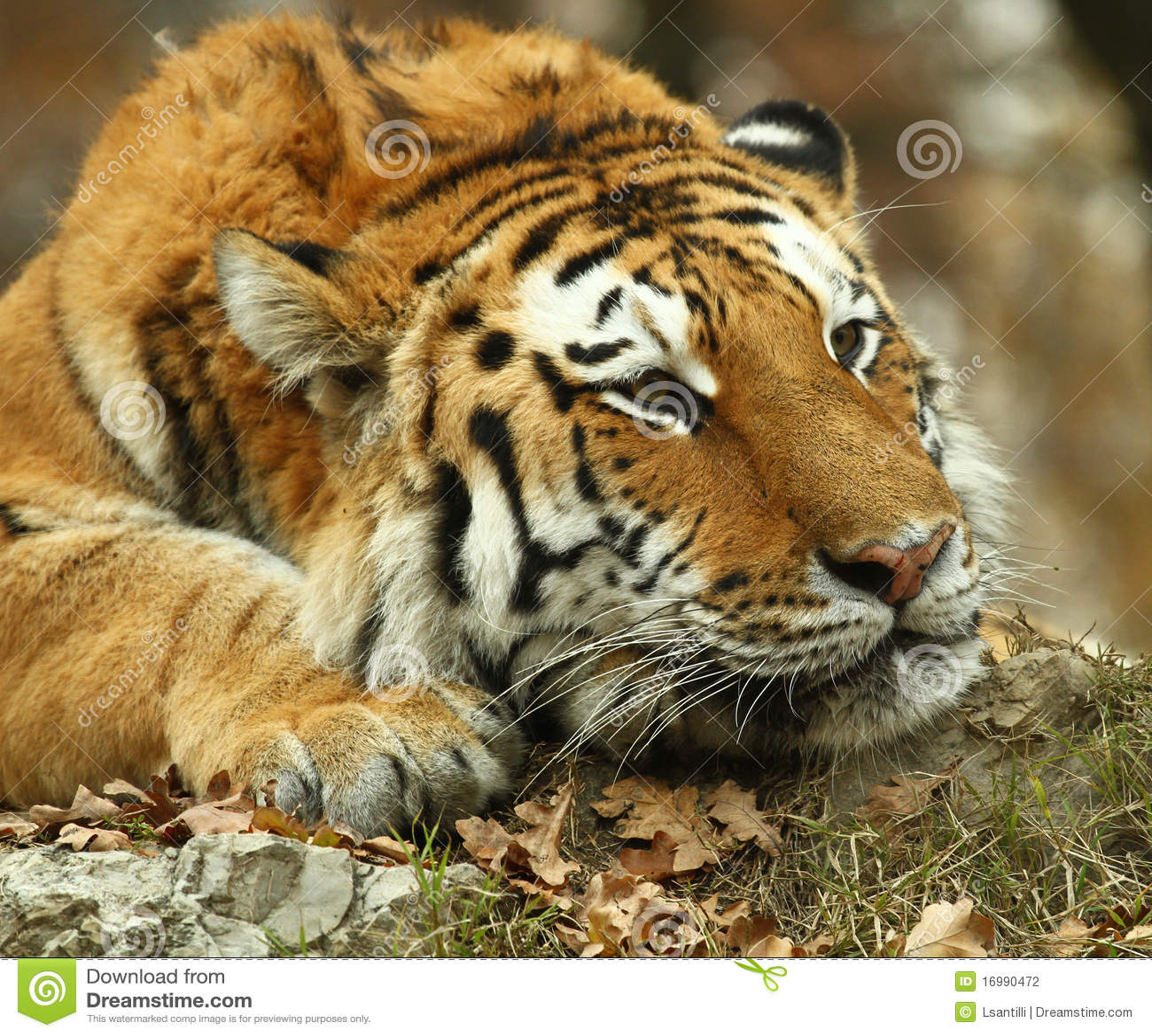 Tigre photo stock image du raies tigres oreille f roce - Images tigres gratuites ...