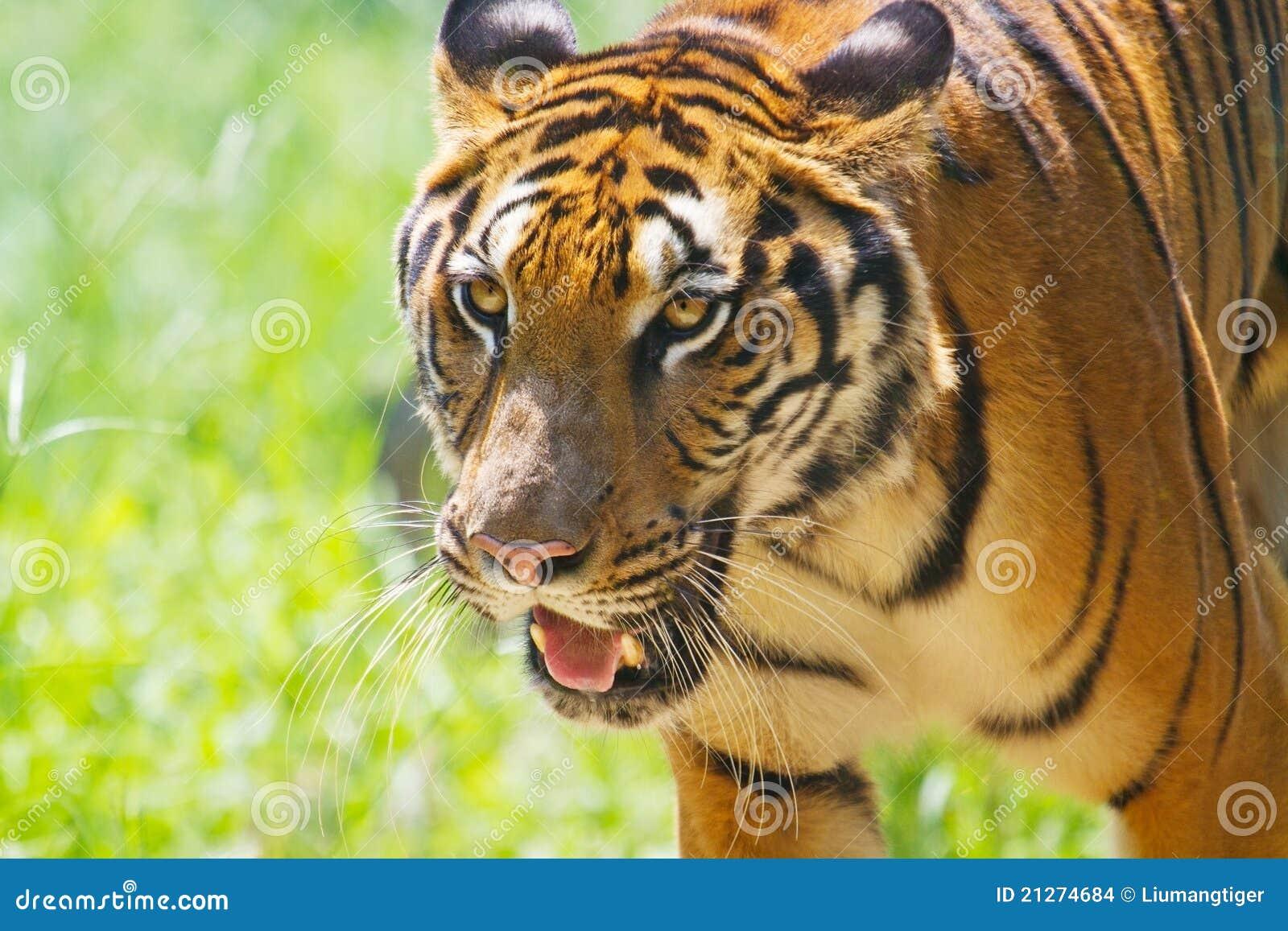Tigre 2 de marche de sud de la Chine