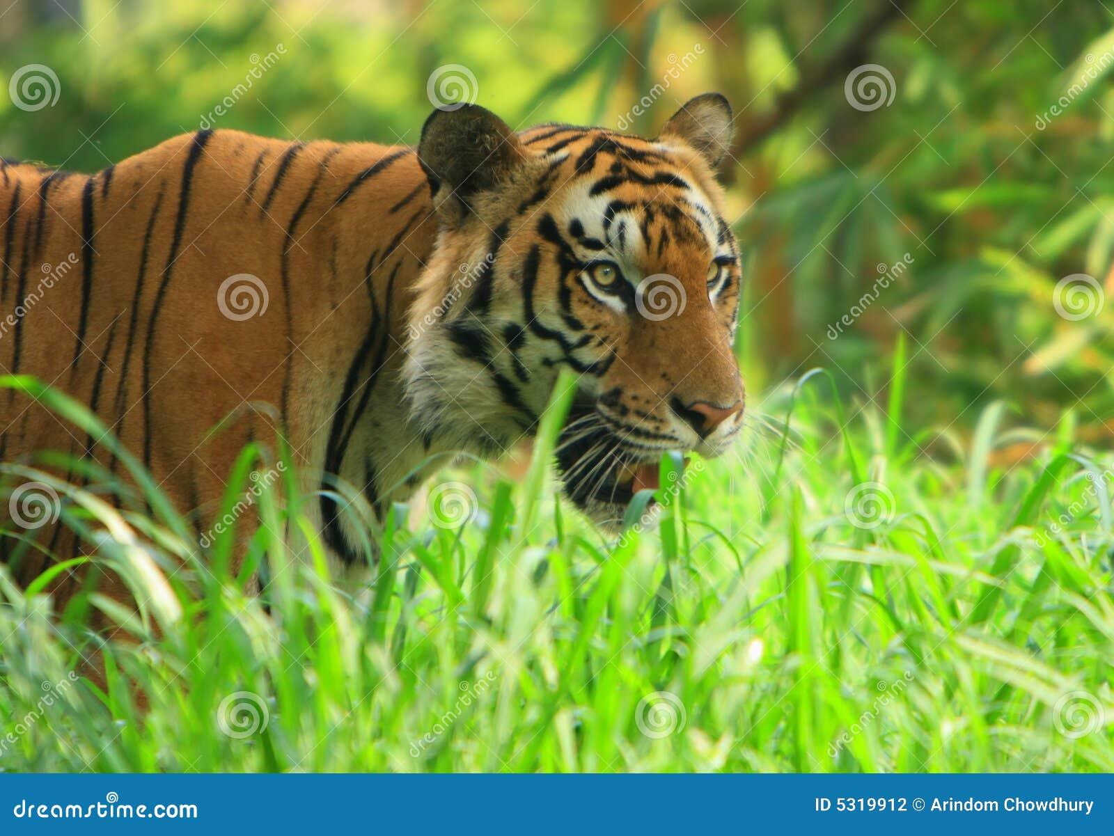 Download Tigre fotografia stock. Immagine di animale, bellezza - 5319912