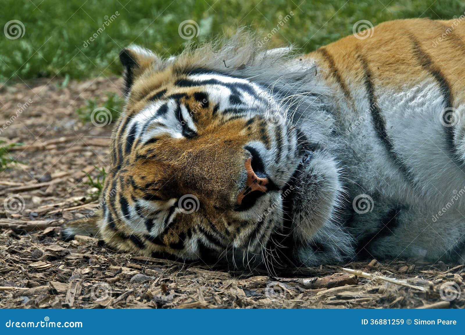 Download Tigre addormentata immagine stock. Immagine di pausa - 36881259