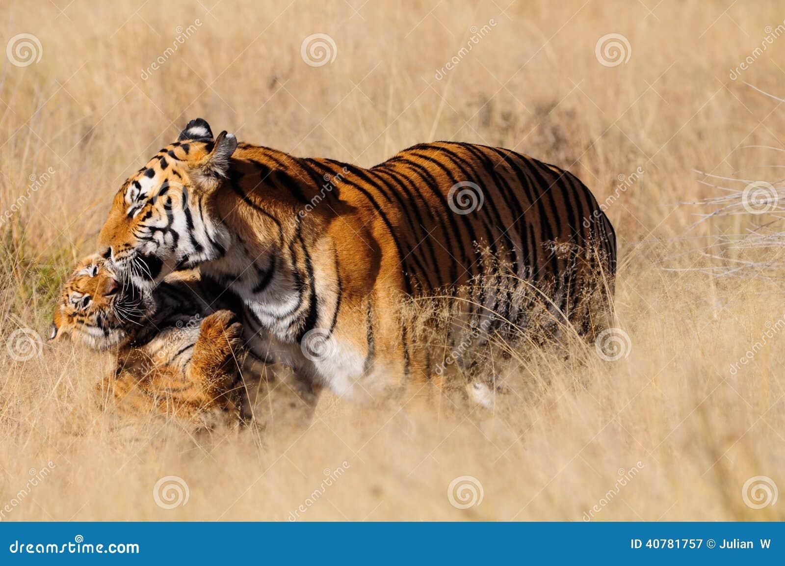 Tigre avec son petit animal