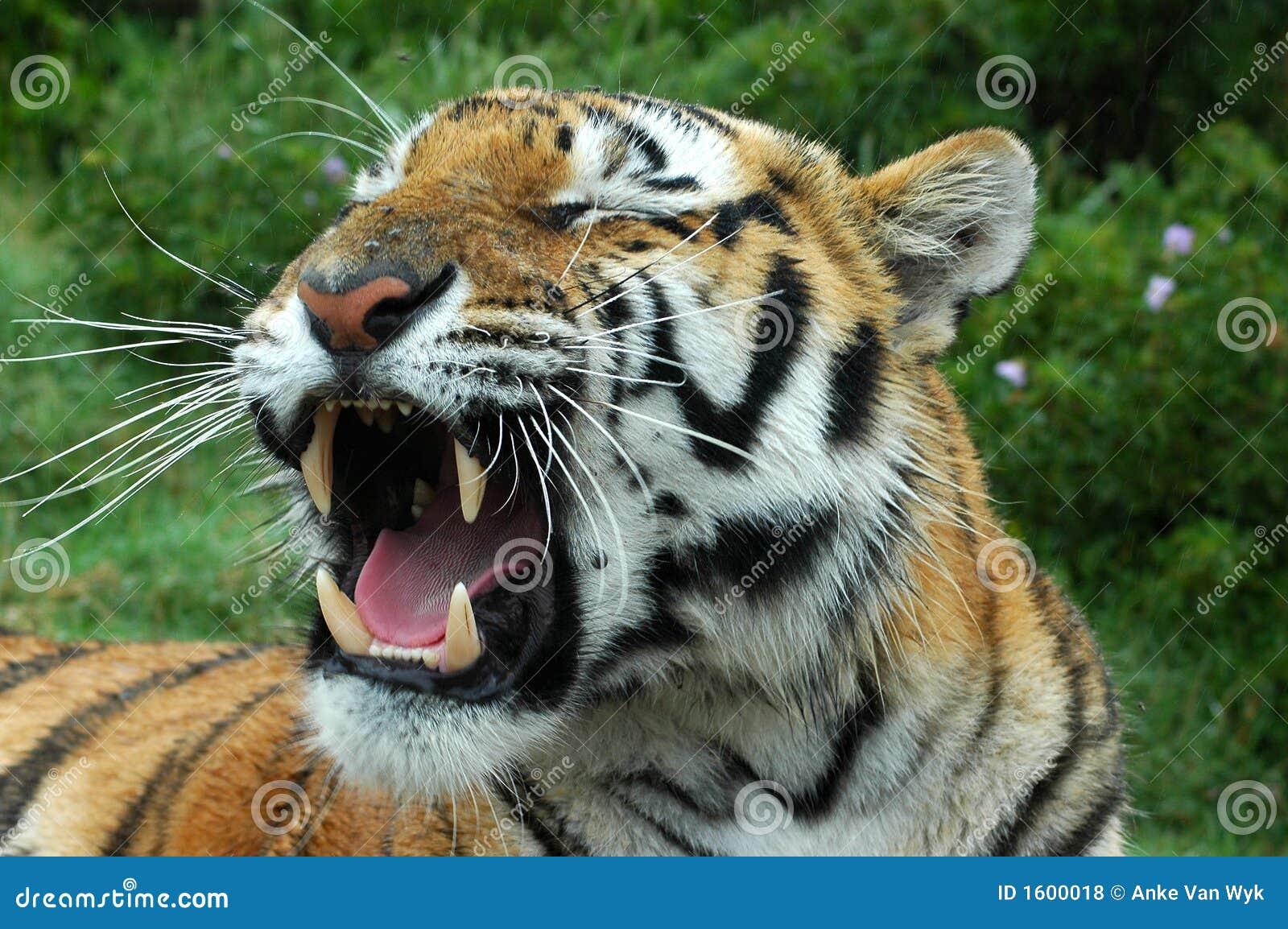 Tigre baîllant
