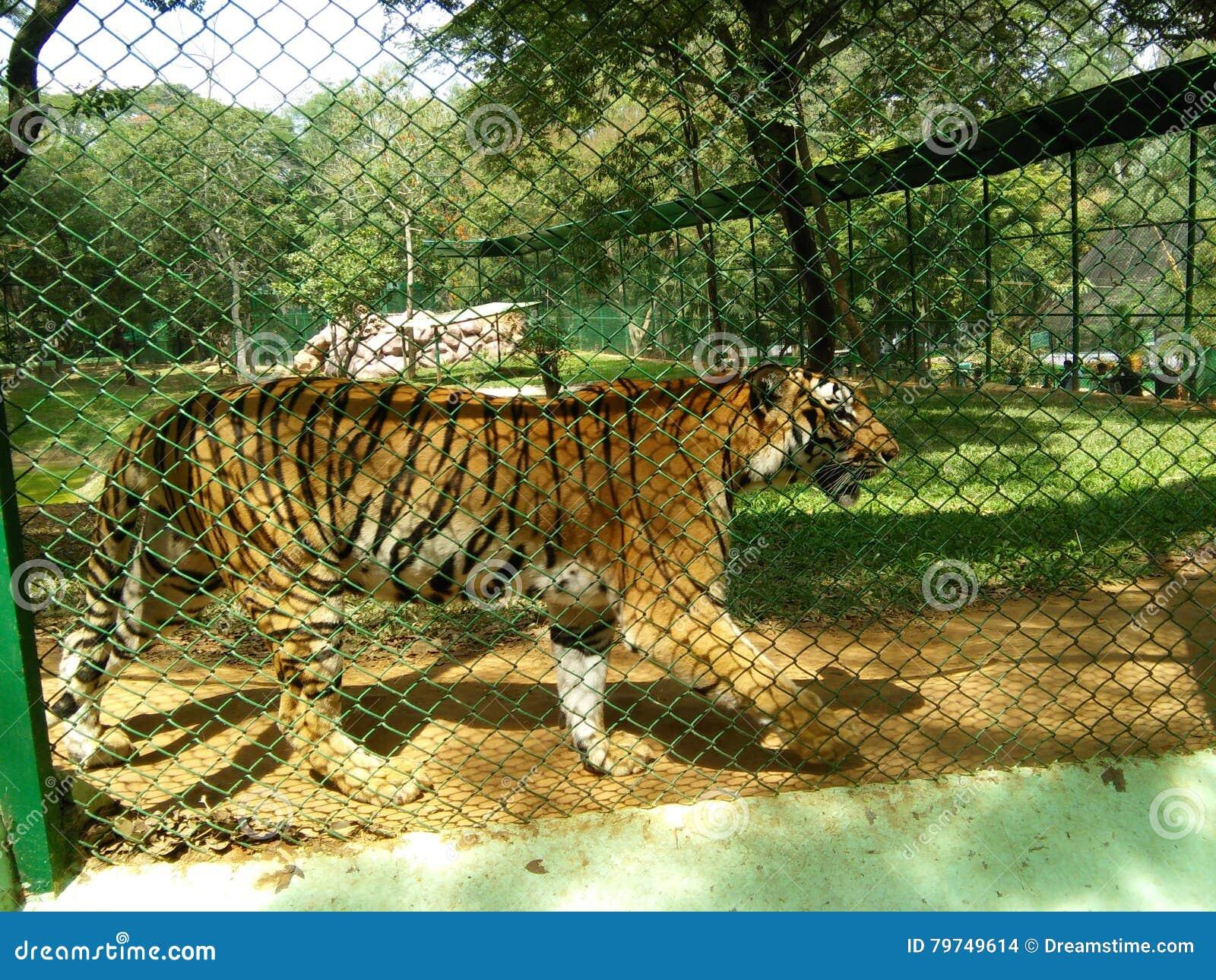 Tigre bengalí