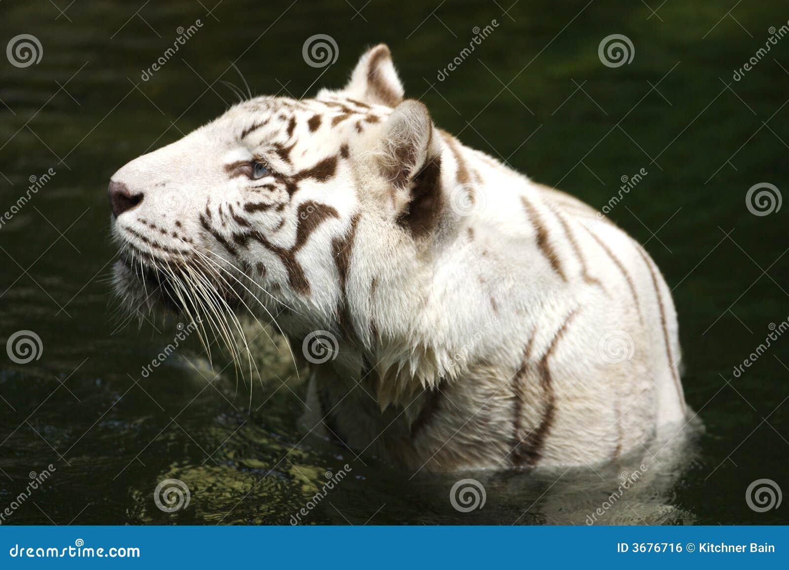 Download Tigre bianca fotografia stock. Immagine di asiatico, wildlife - 3676716