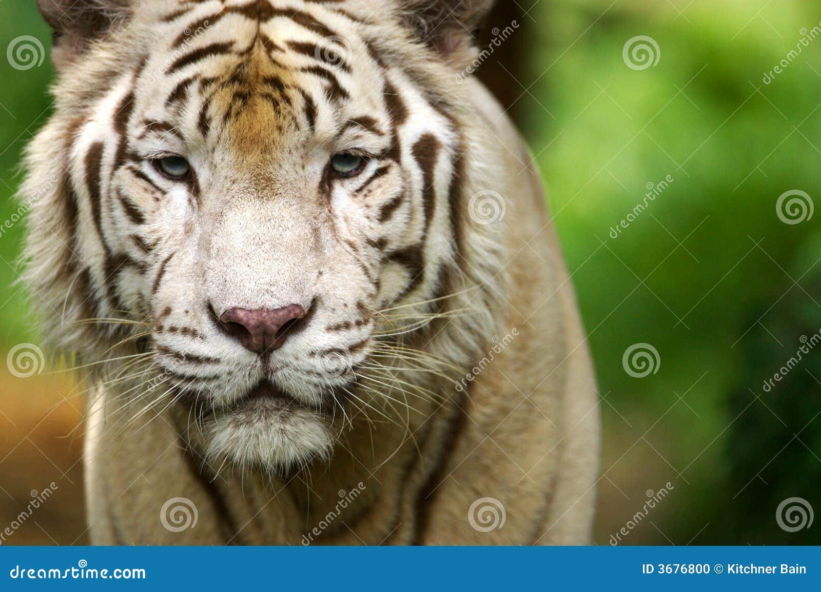 Download Tigre bianca fotografia stock. Immagine di bianco, bengal - 3676800