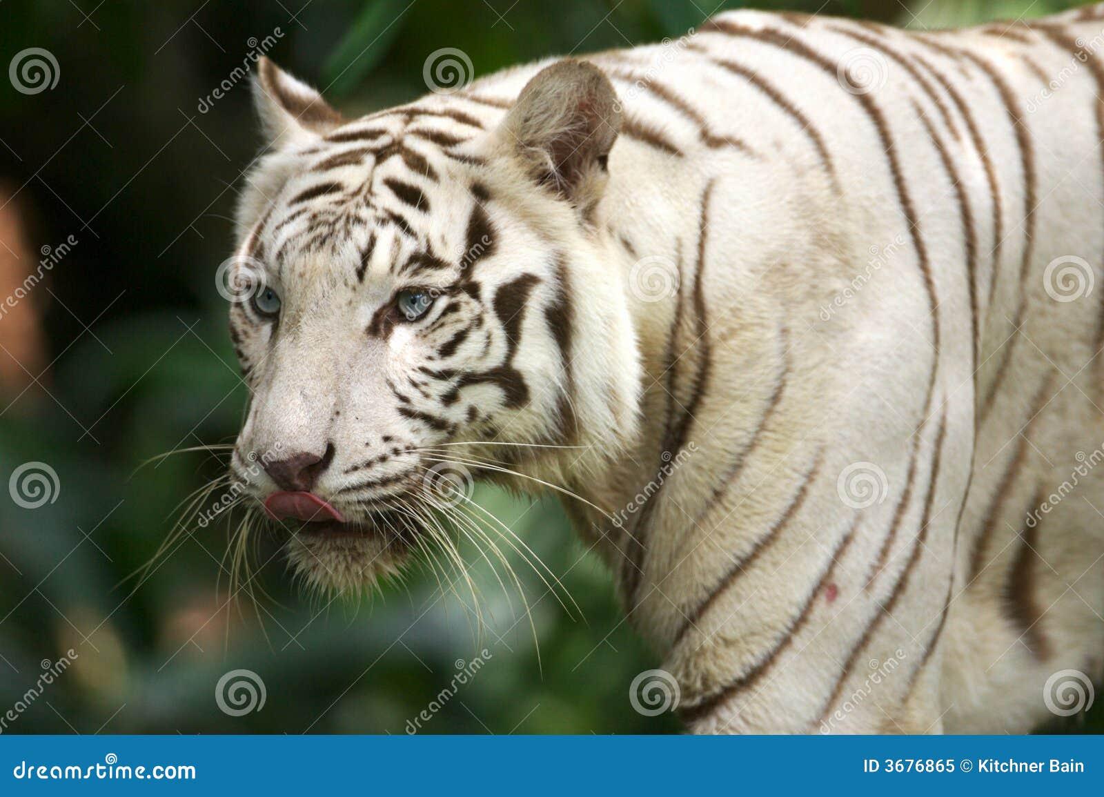 Download Tigre bianca immagine stock. Immagine di nave, prowling - 3676865