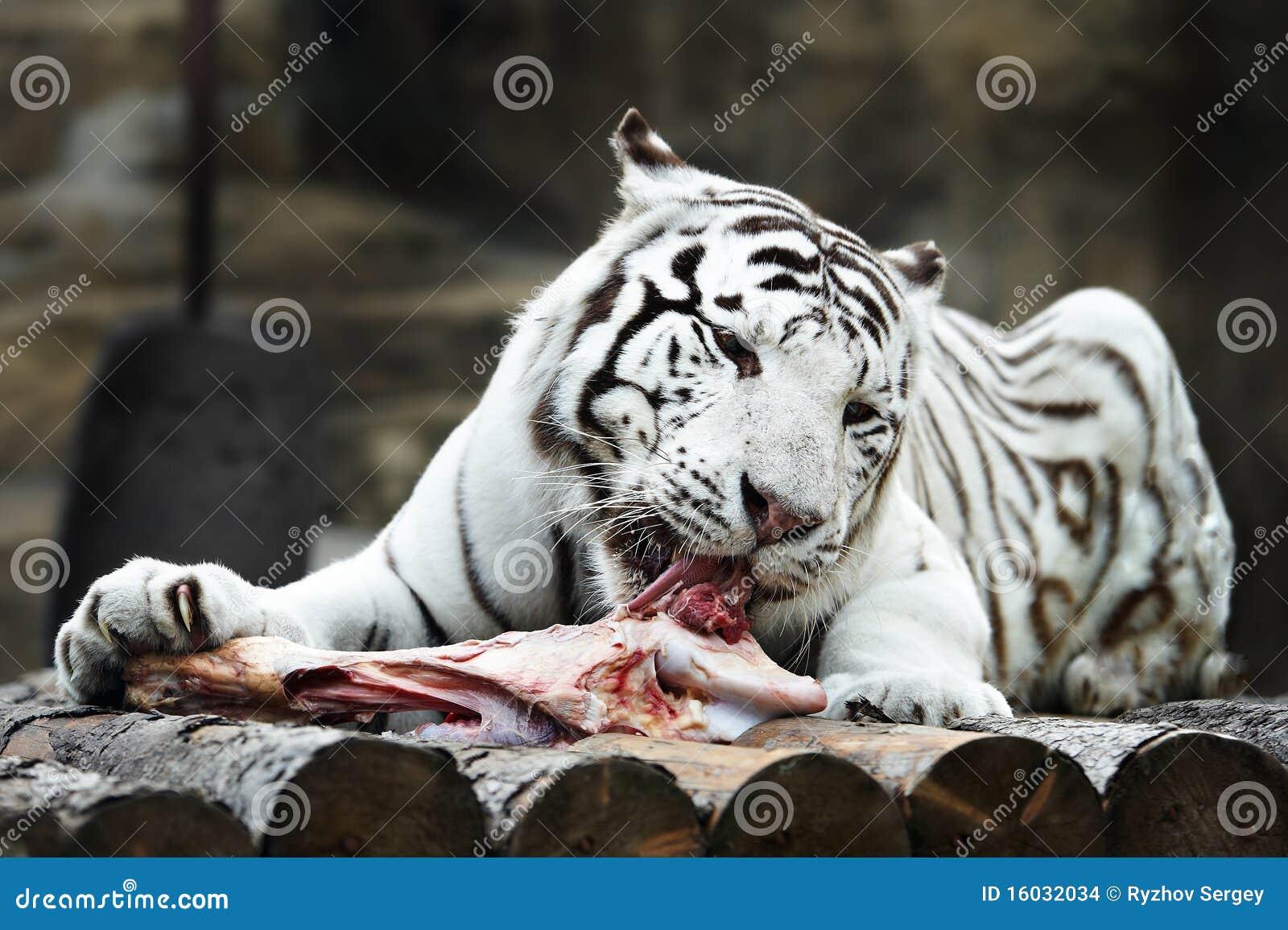 Tigre blanc avec une partie de viande photo stock image - Images tigres gratuites ...