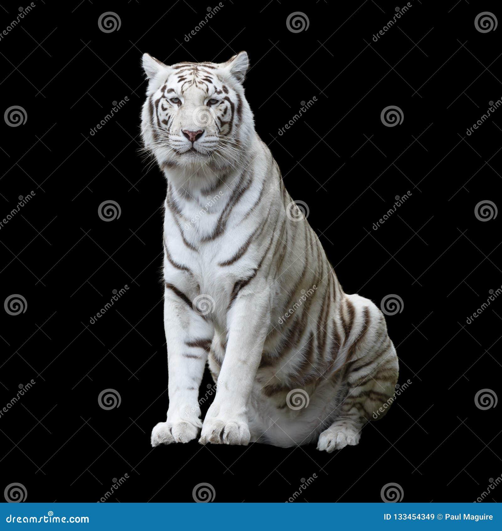 Tigre blanc d isolement