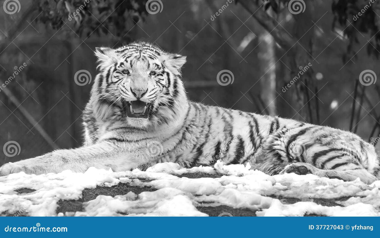 Tigre blanc fâché
