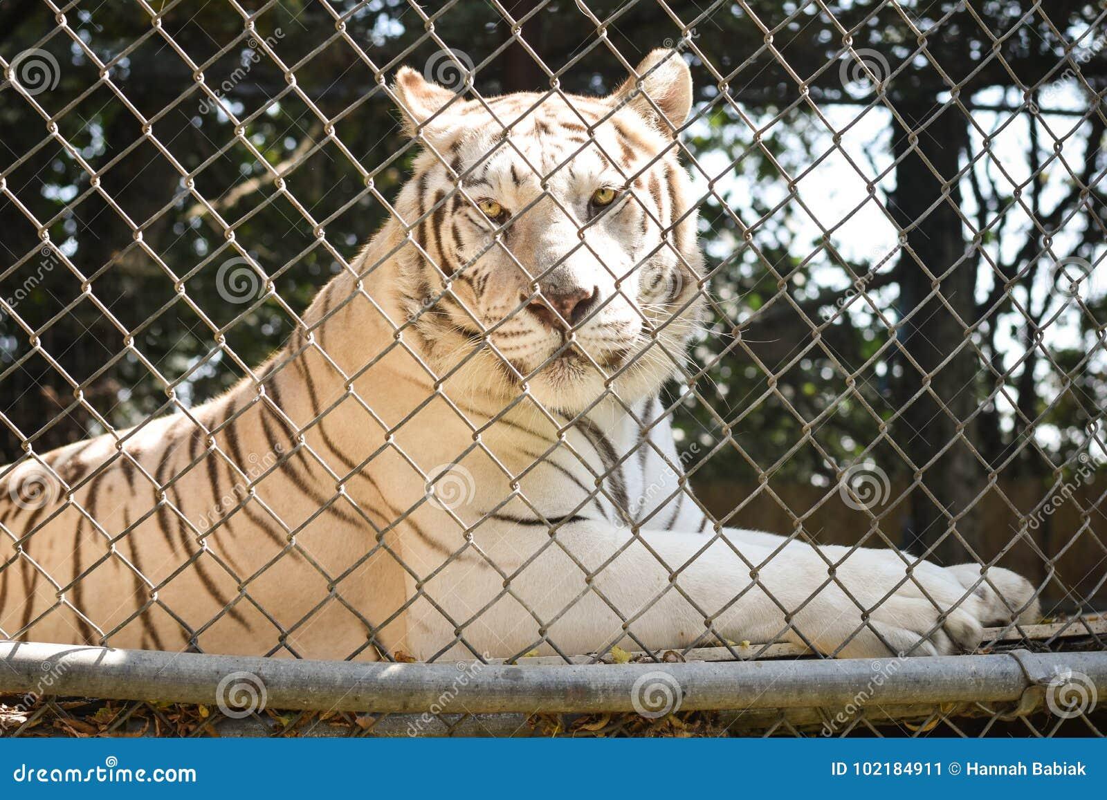 Tigre blanco en cautiverio