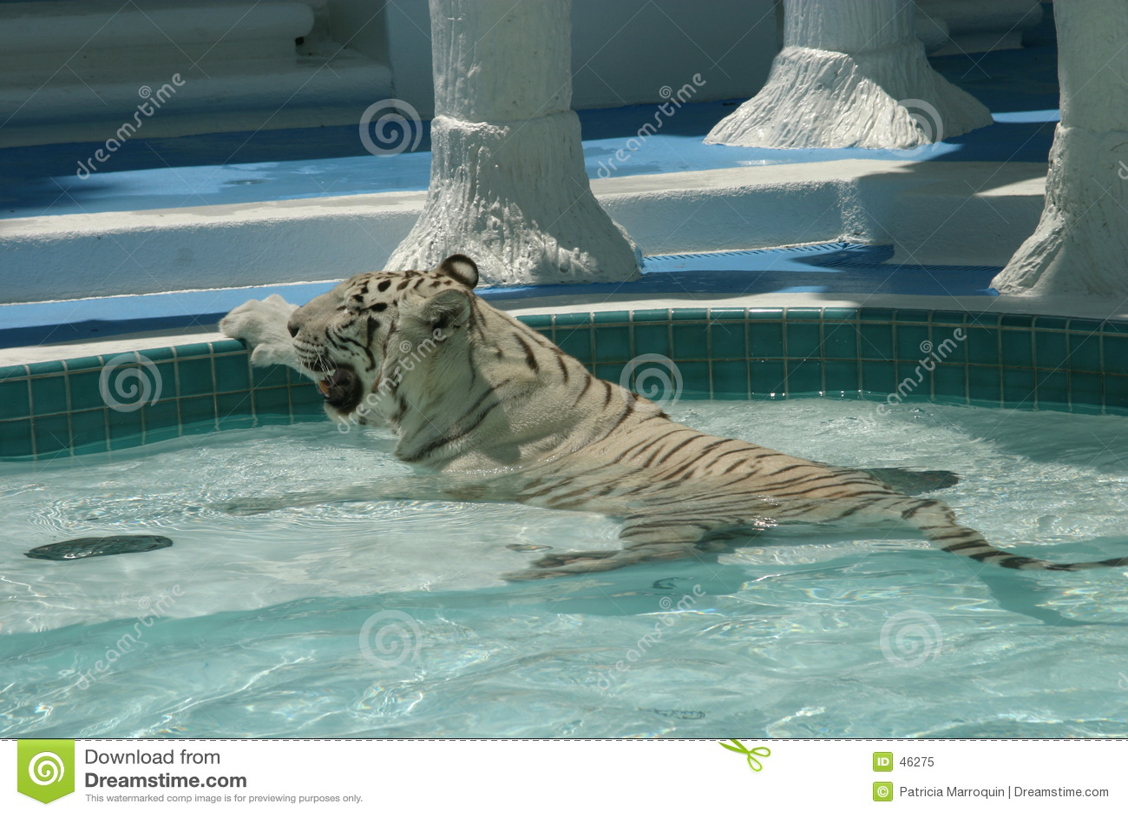 Tigre calda bianca