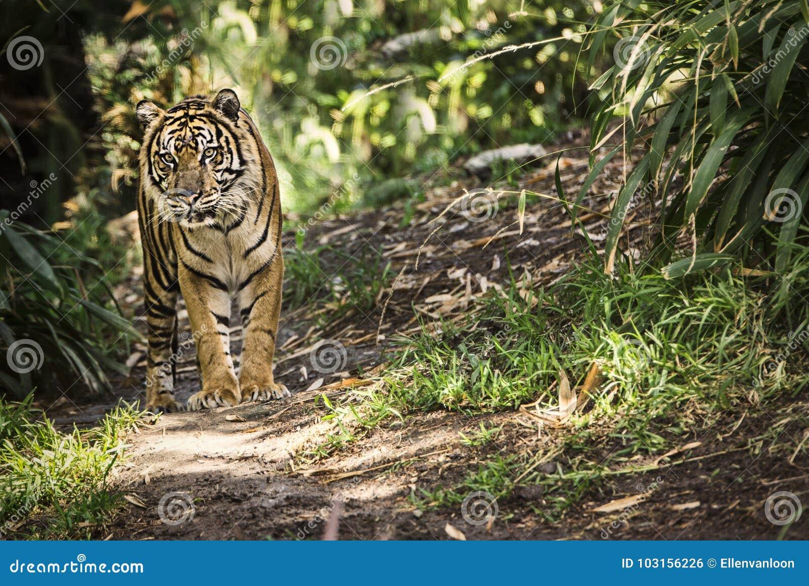 Tigre che cammina intorno