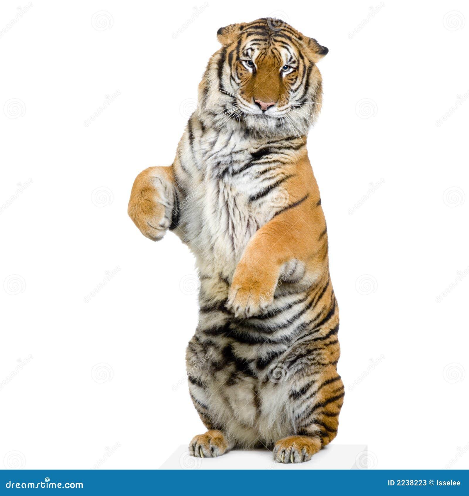 Tigre che si leva in piedi in su