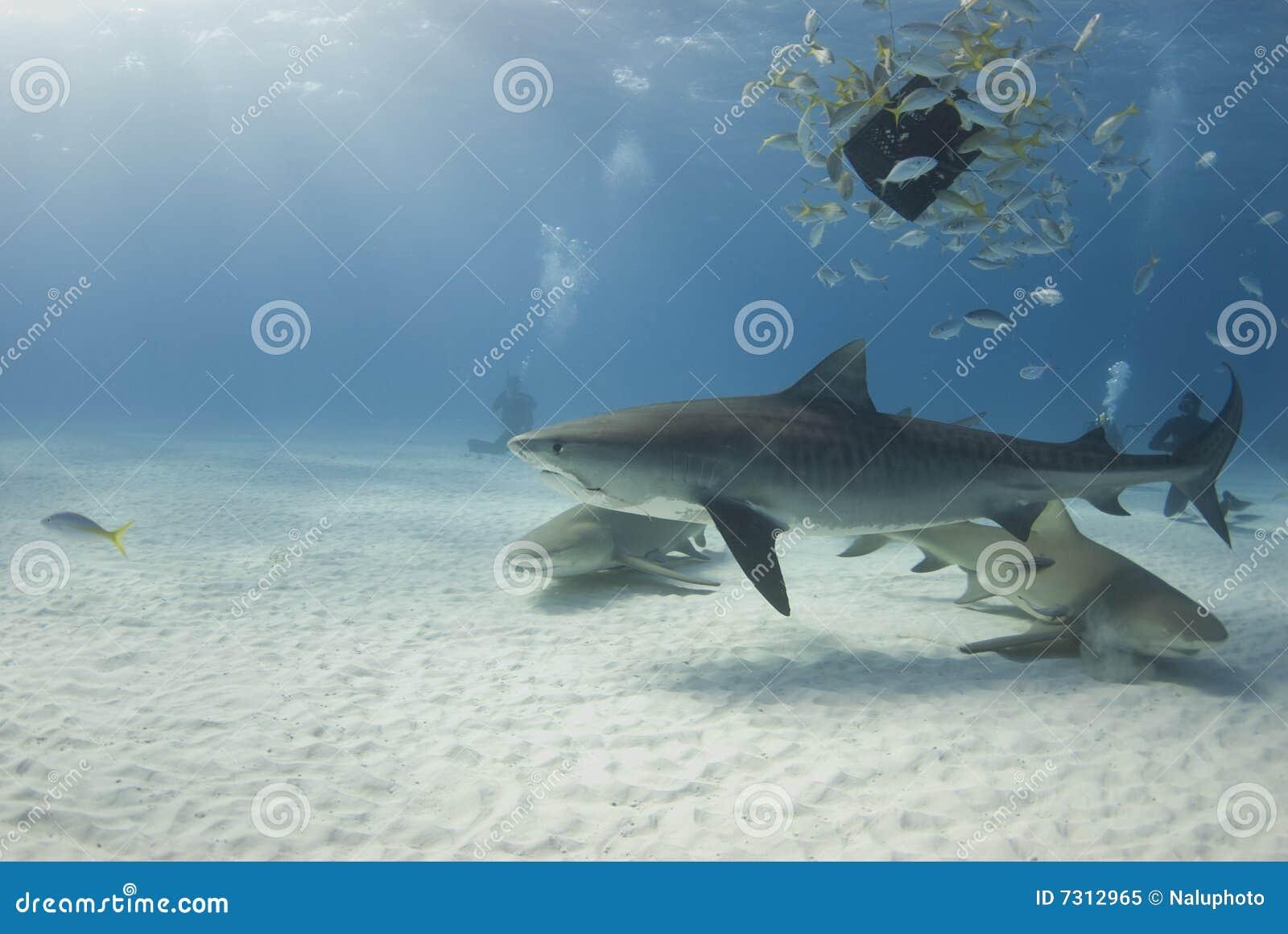 Tigre con i limoni e Baitfish