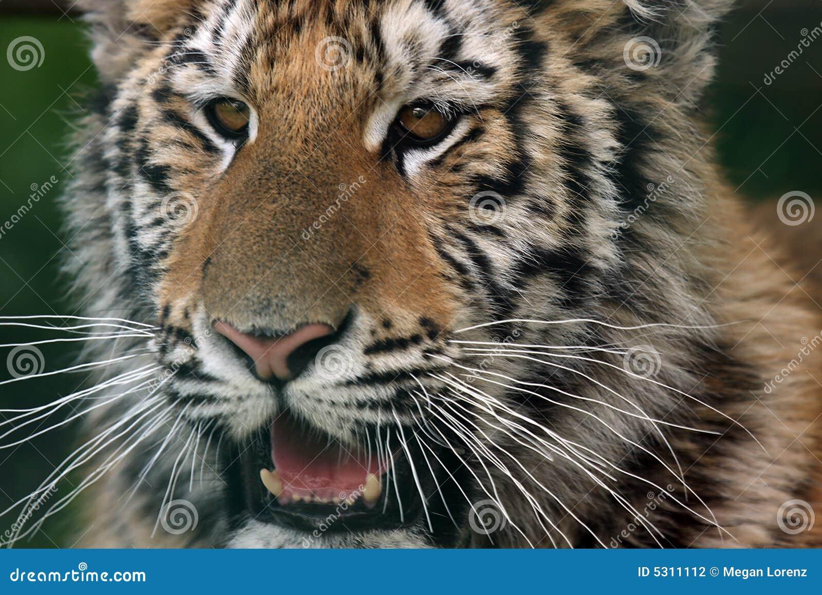 Download Tigre Cub fotografia stock. Immagine di gatto, guardare - 5311112
