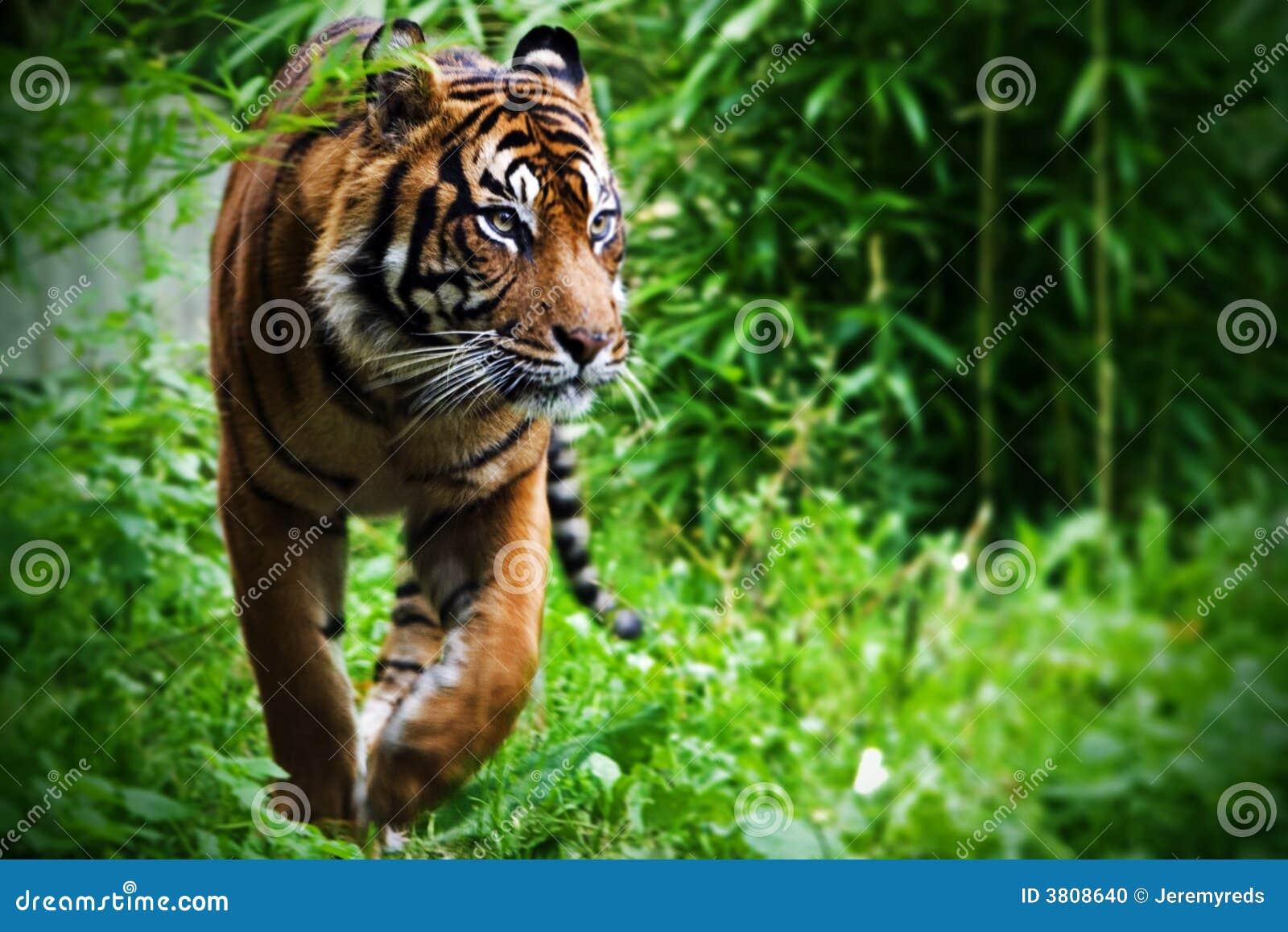Tigre da caça