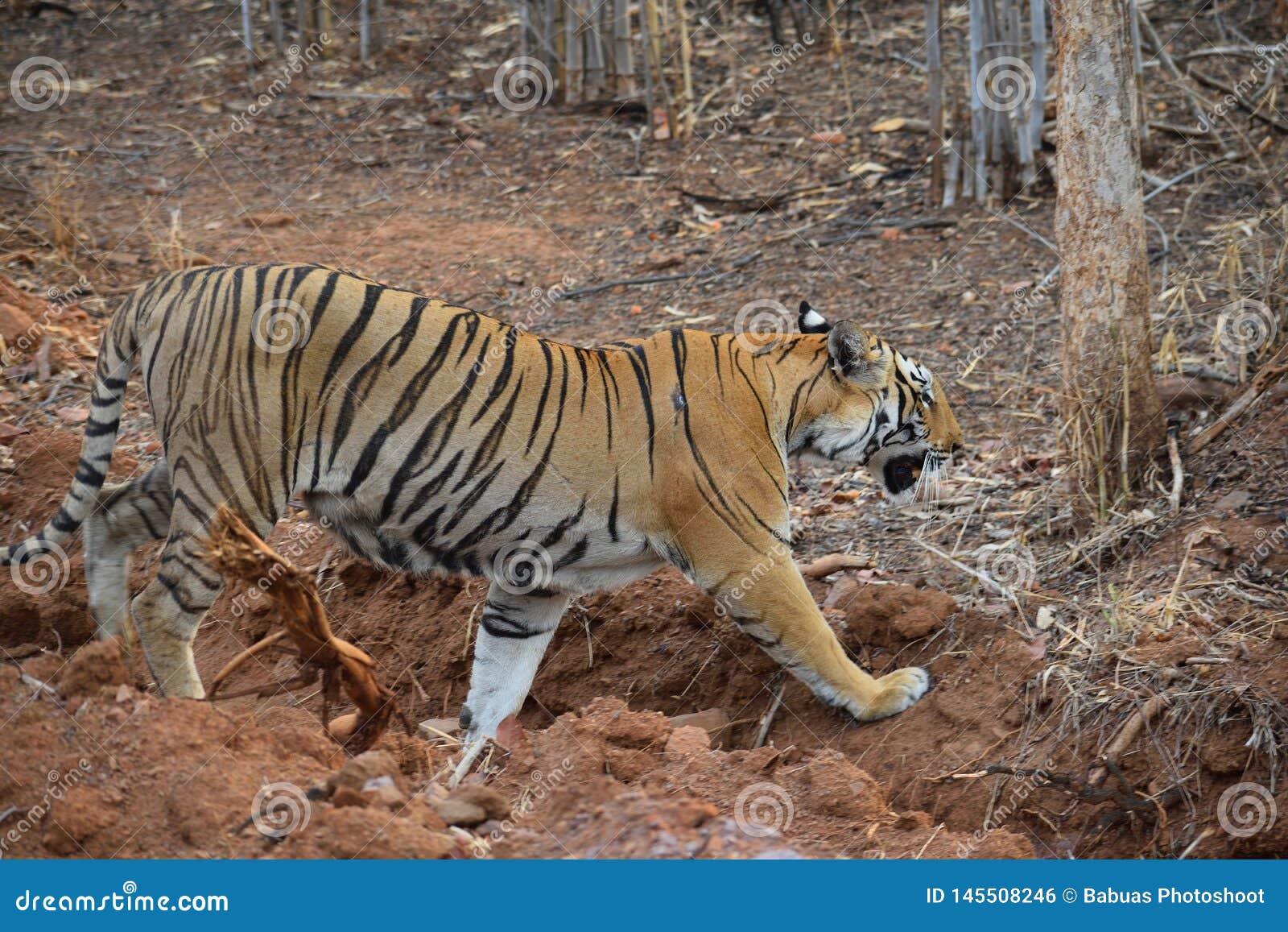 Tigre de Bengal real que anda através de uma vala em Tadoba Tiger Reserve, Índia