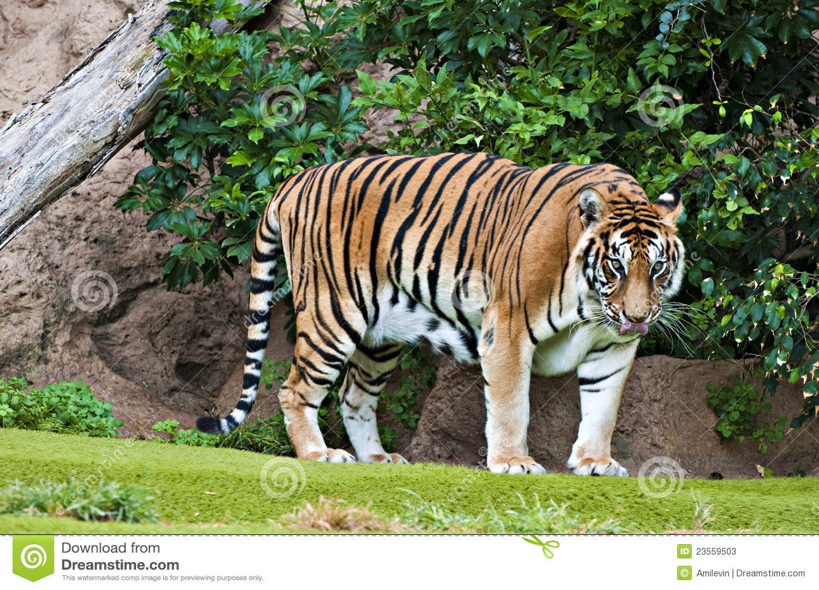 bengalí grande