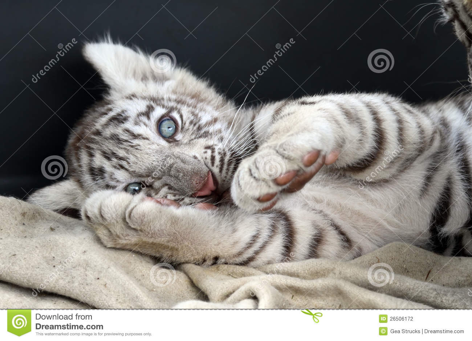 tigre de bengala blanco bebe images. Black Bedroom Furniture Sets. Home Design Ideas