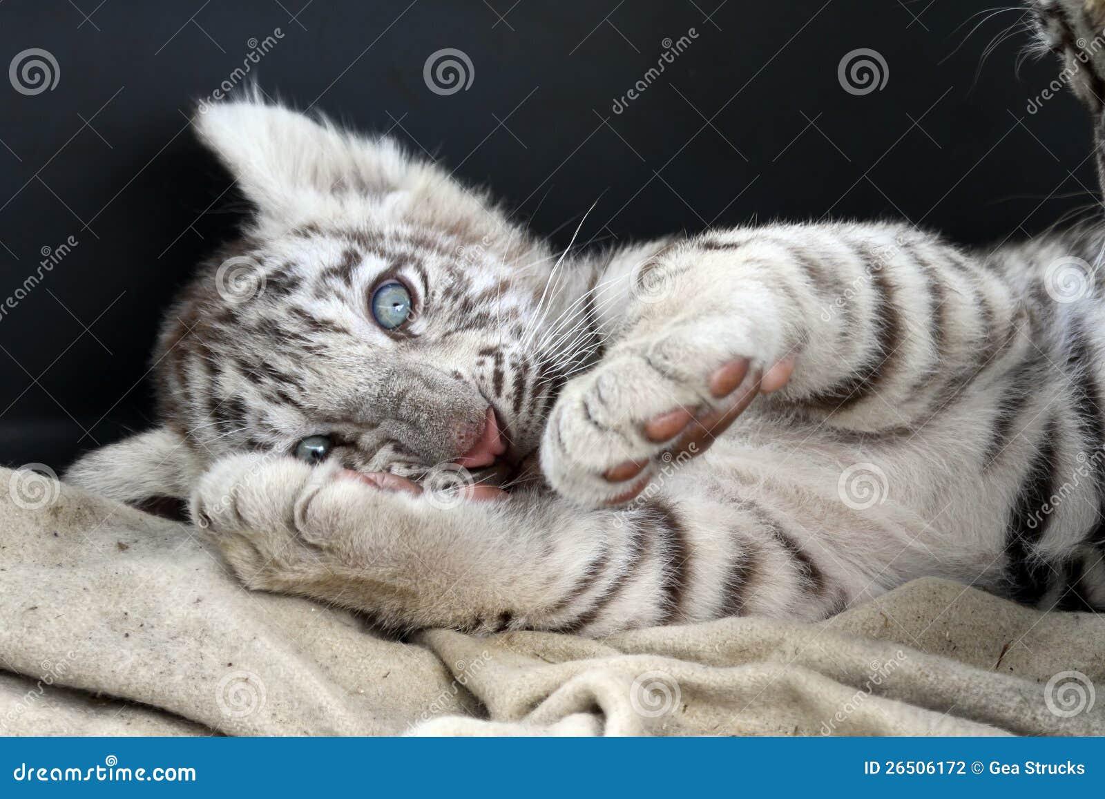 Tigre De Bengala Blanco Bebe | www.pixshark.com - Images ...