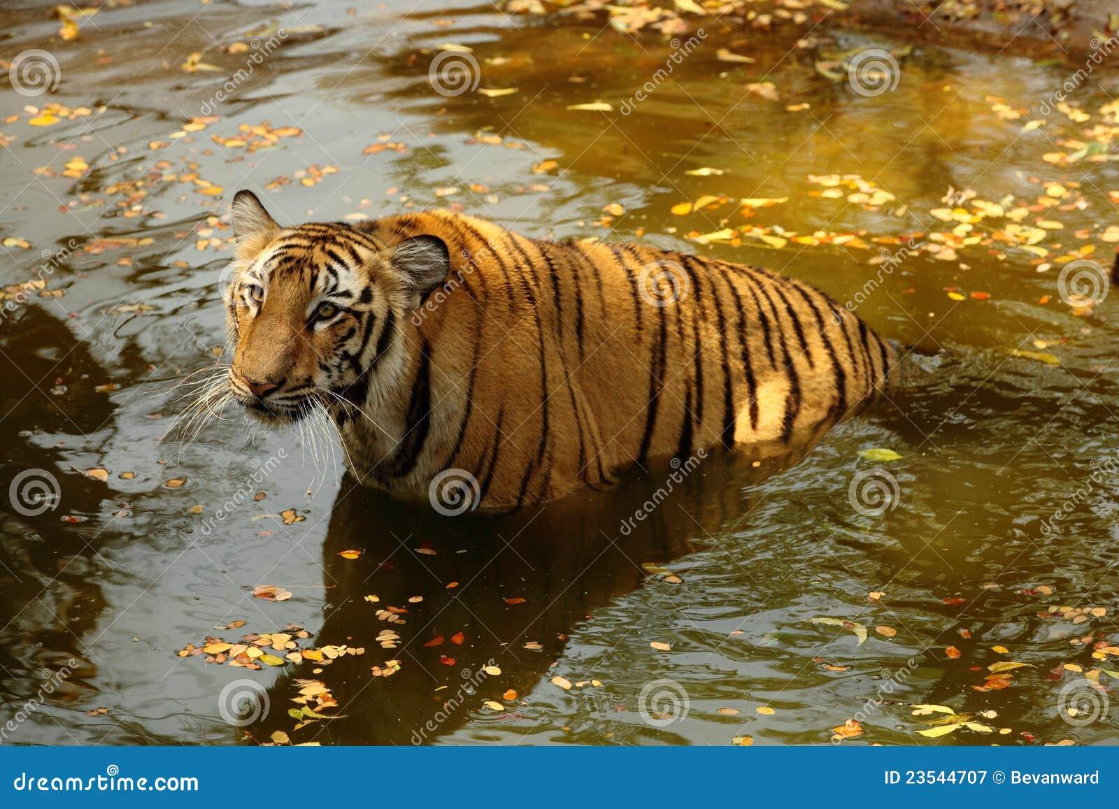 Tigre de Bengala real en agua