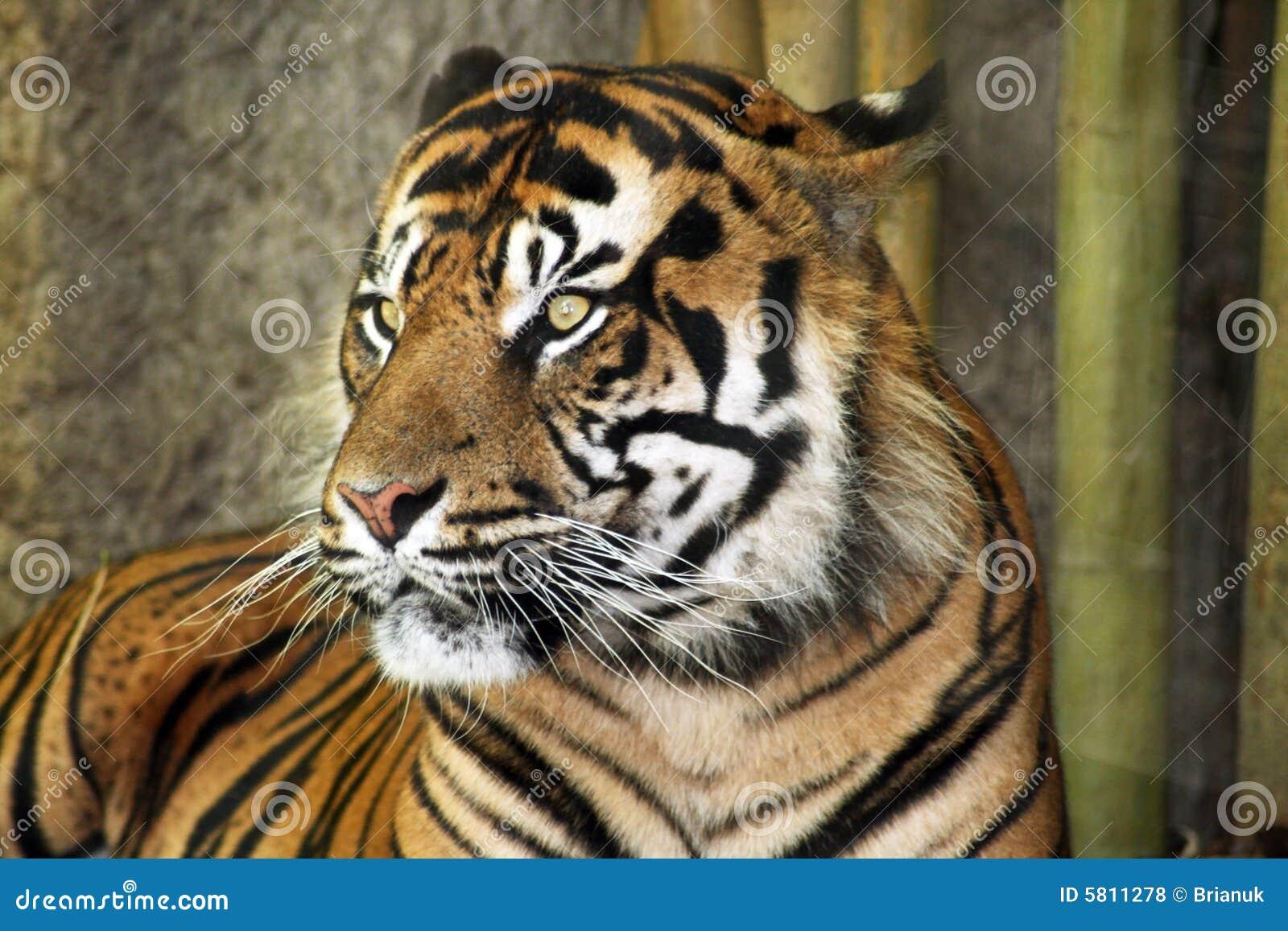 Tigre de bengale photo stock image du tigres verticale - Images tigres gratuites ...