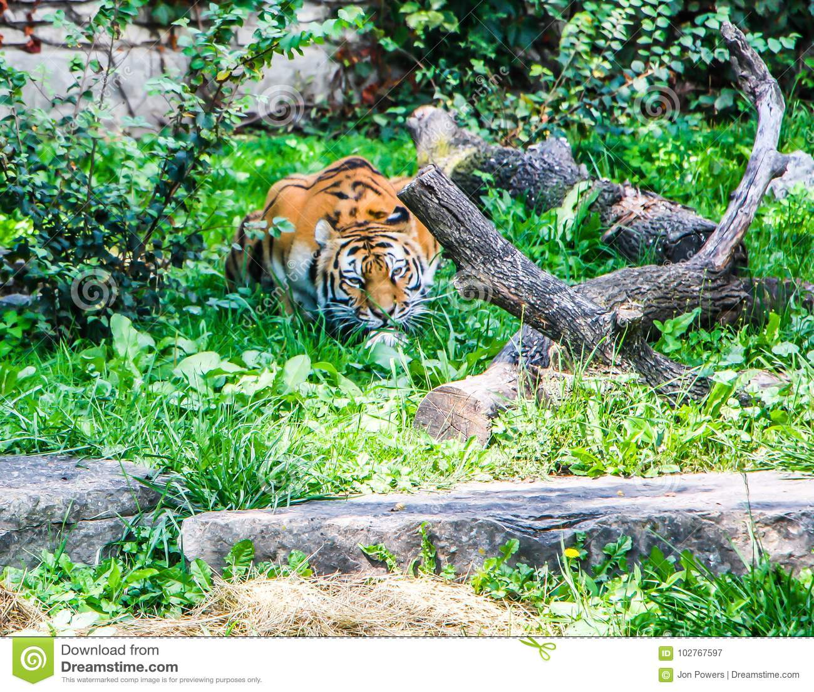 Tigre de Bengale au zoo de Buffalo