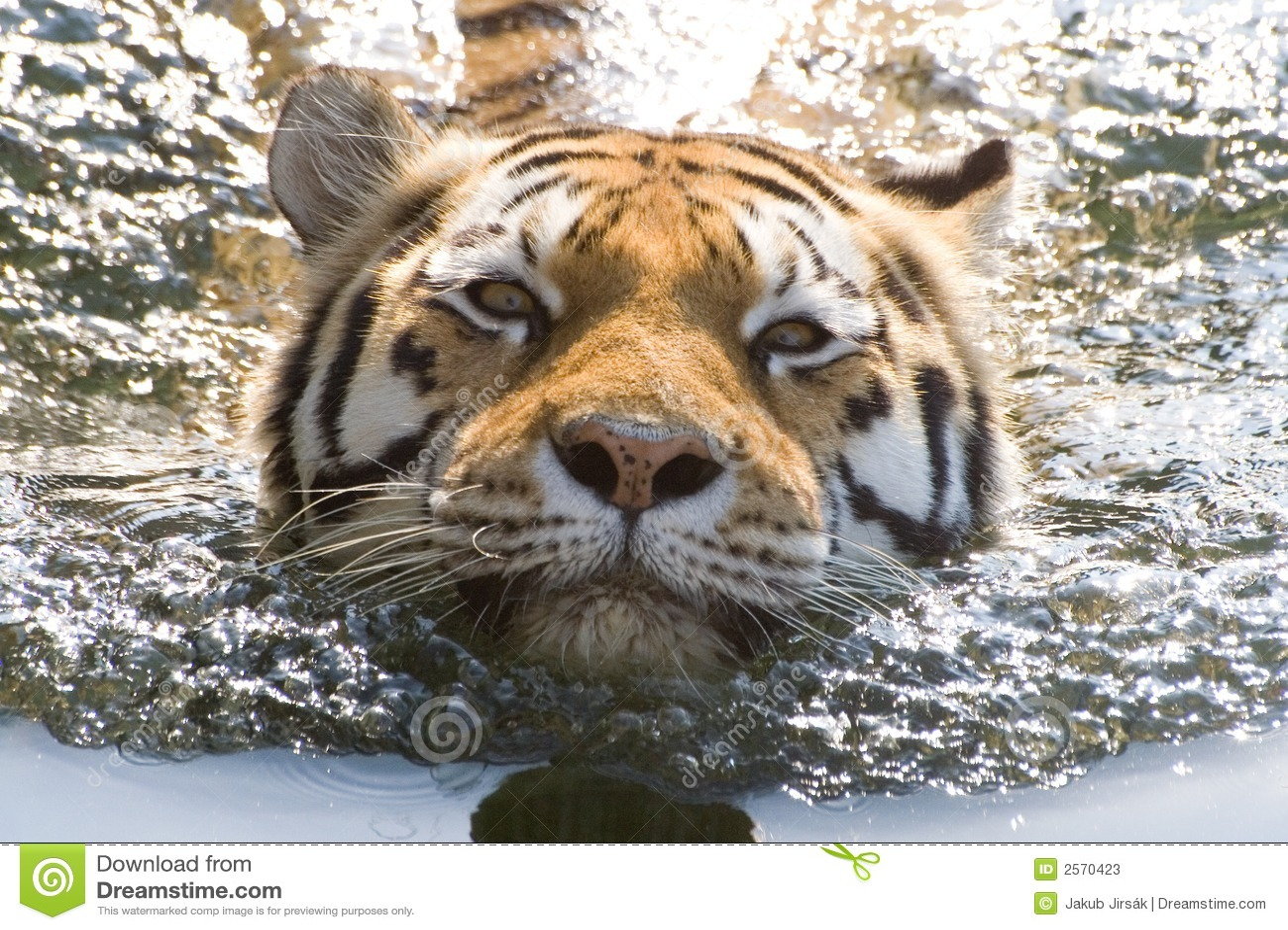 Tigre de la natación