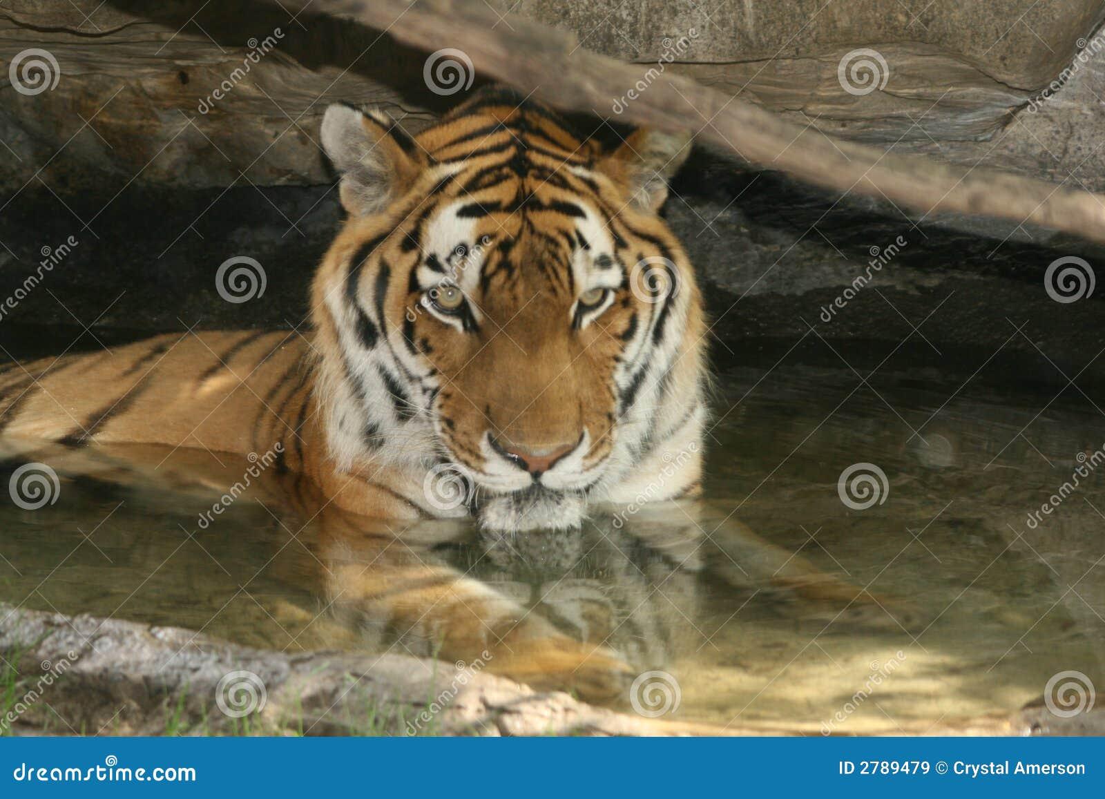 Tigre de natation