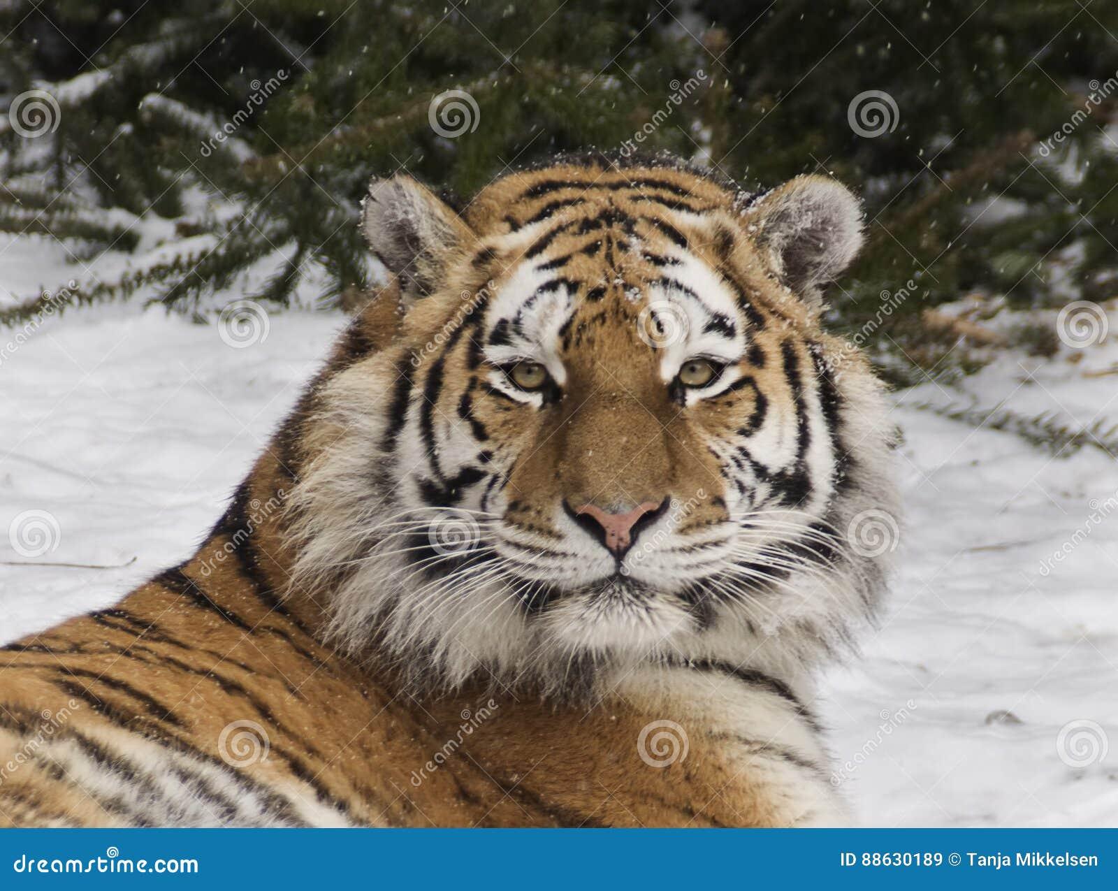 Tigre dell Amur