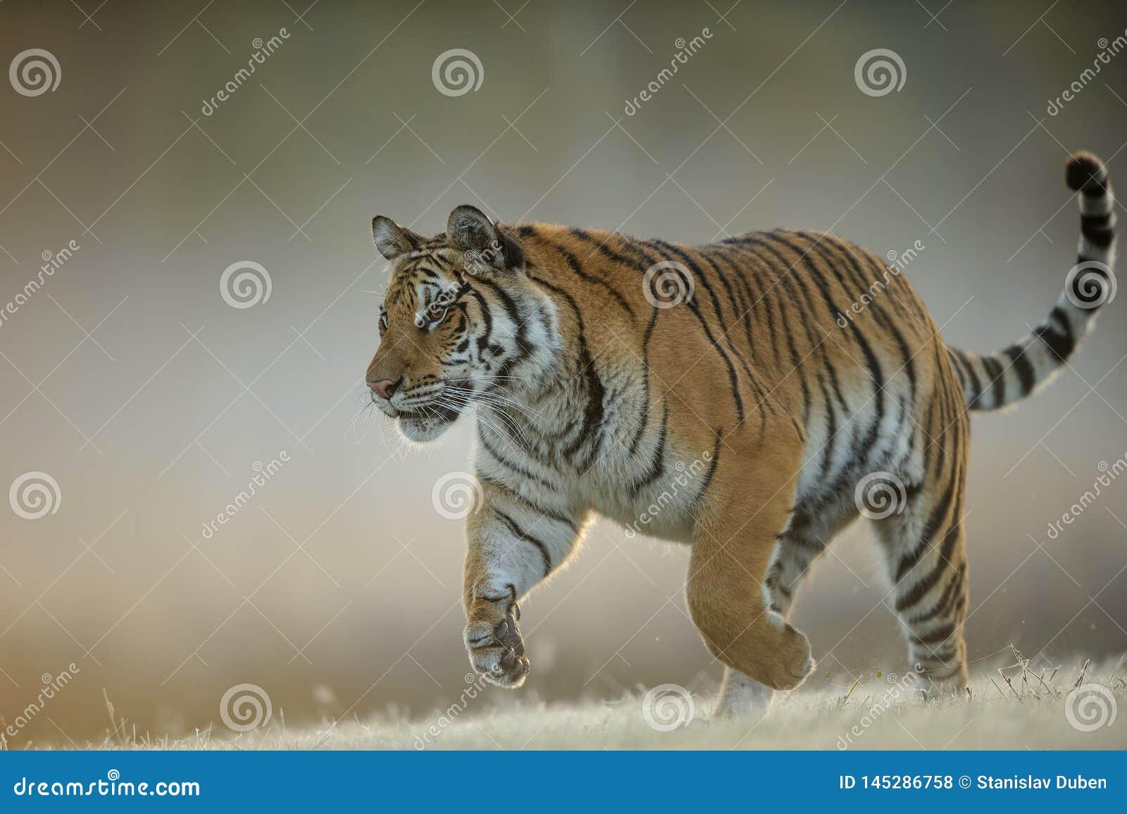 Tigre dell Amur quando cercano dalla vista del primo piano Animale pericoloso, taiga Russia Tigre siberiana, altaica del Tigri de