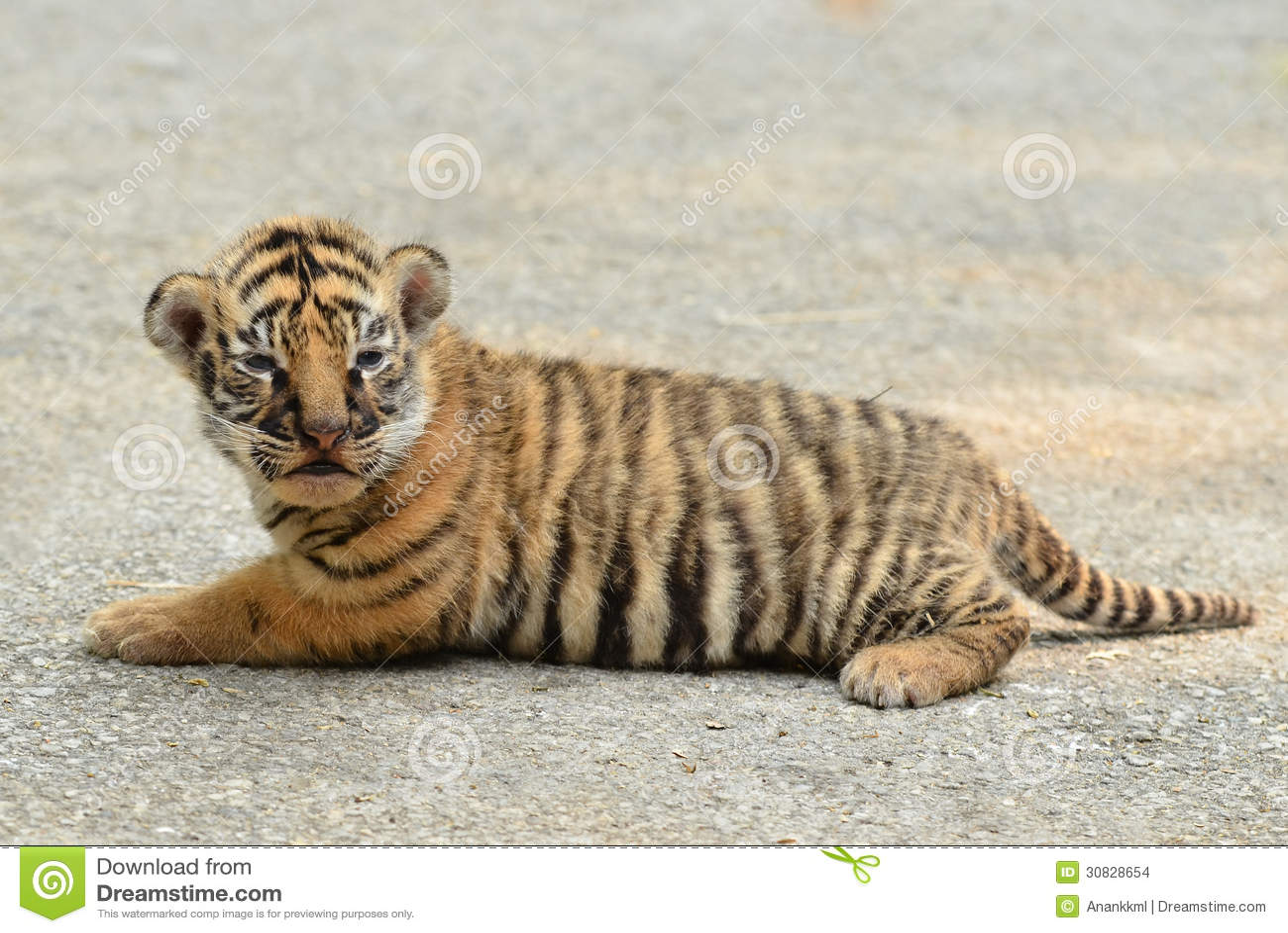 Tigre di Bengala del bambino