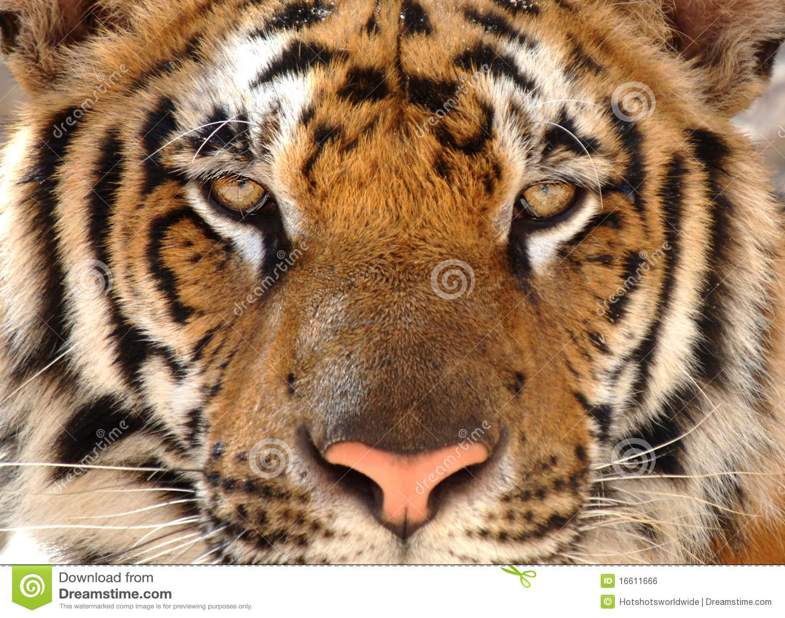 Tigre di bengala magnifica leone del gatto della for Bengala asia