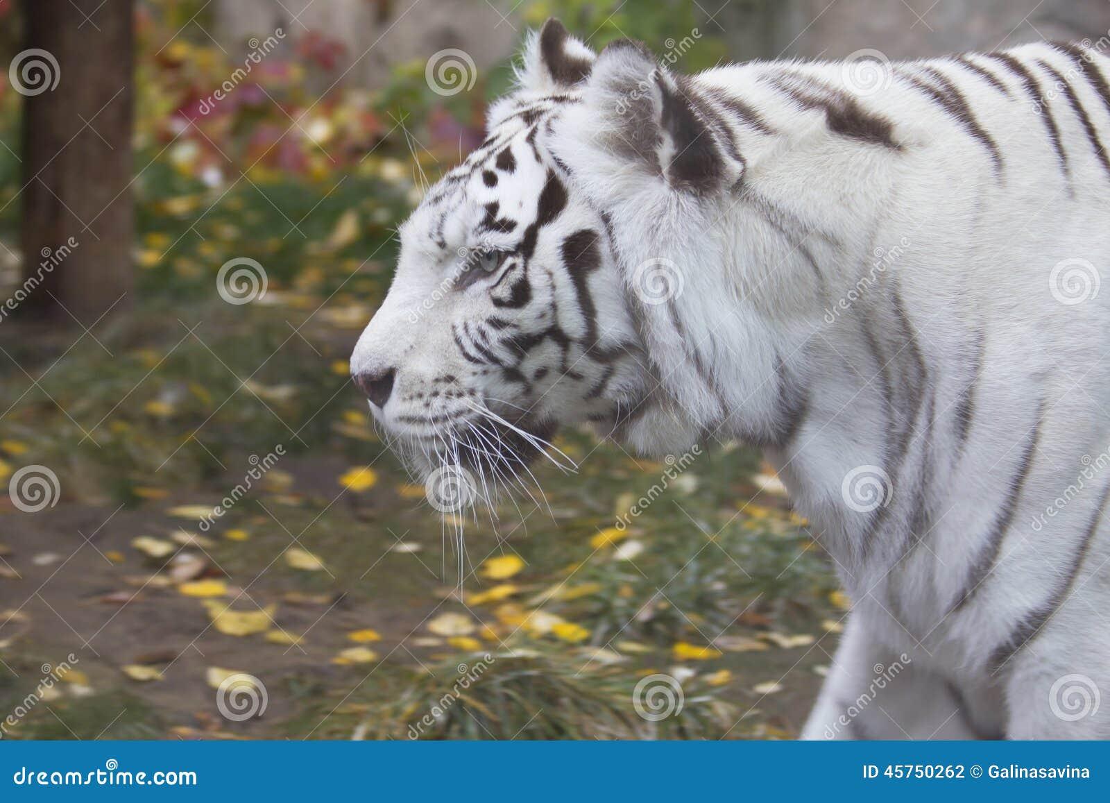 Tigre di bianco del Bengala