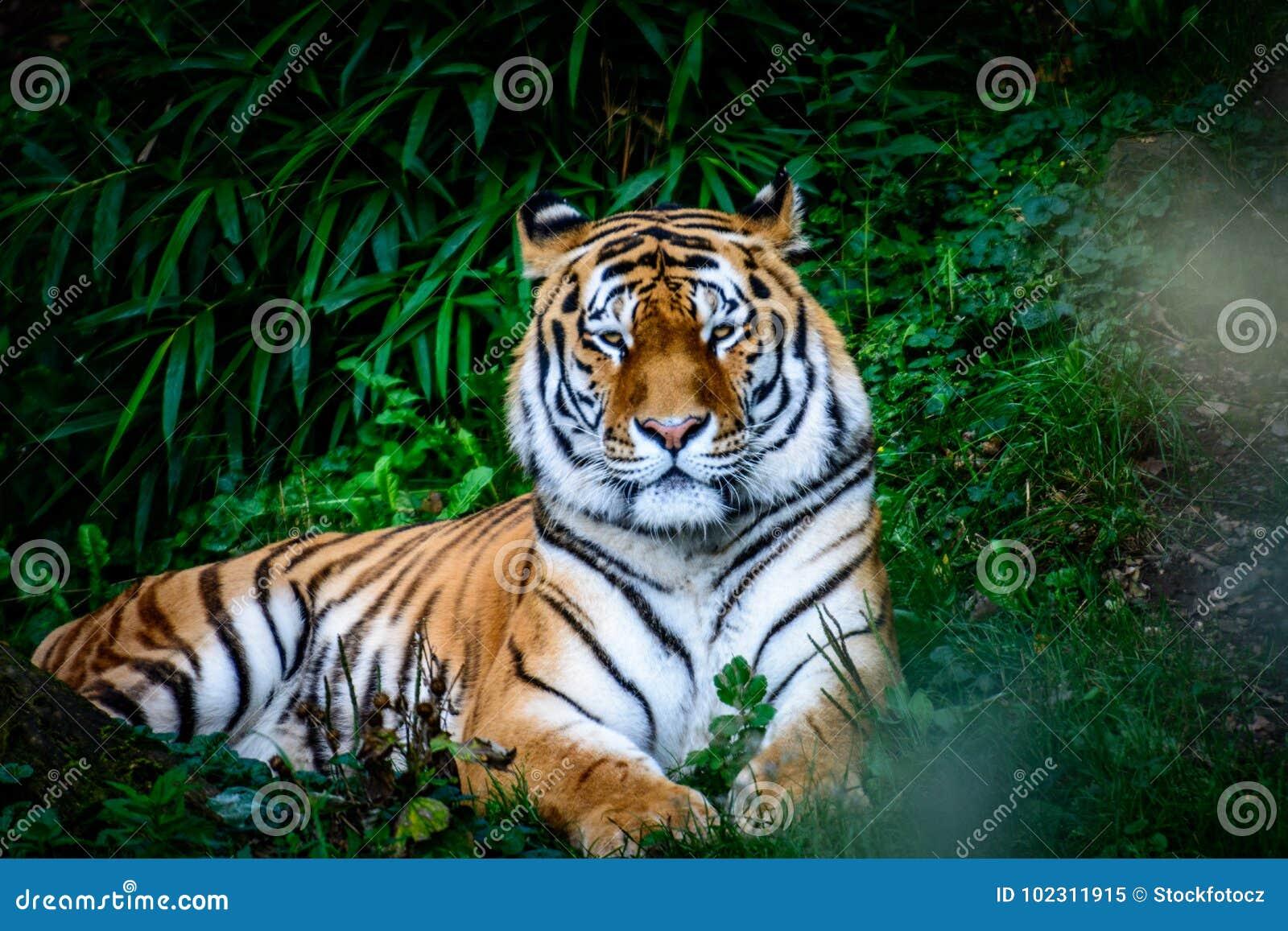 Tigre di riposo dell Amur