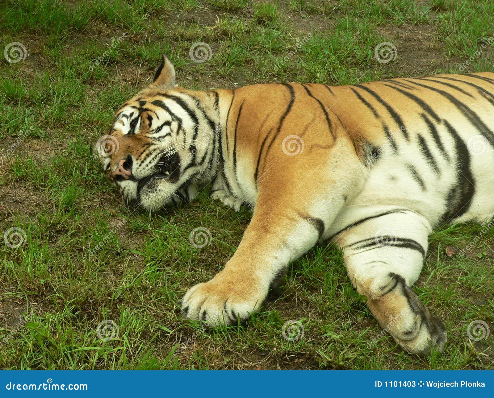 Tigre di sonno