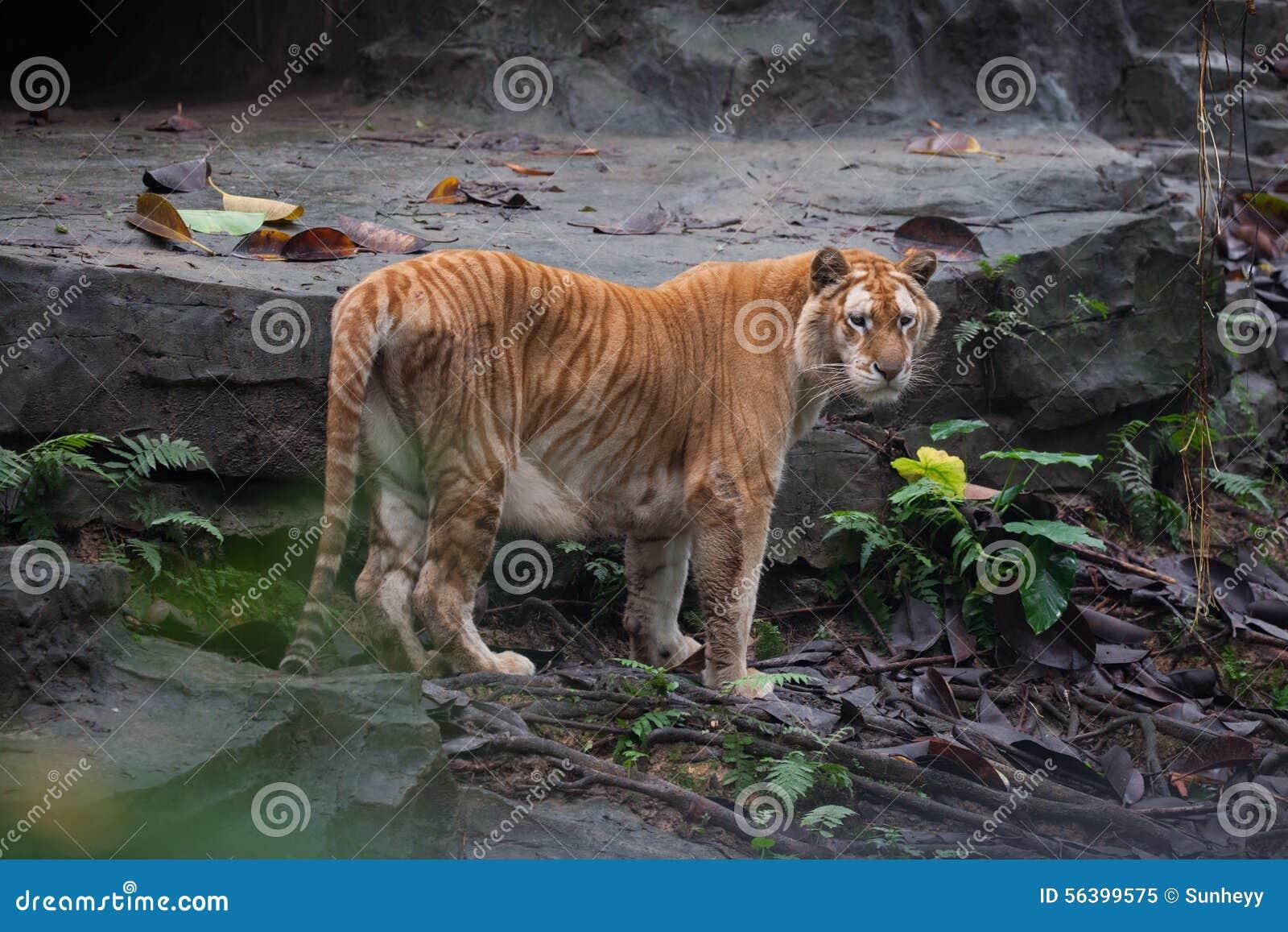 Tigre dorata