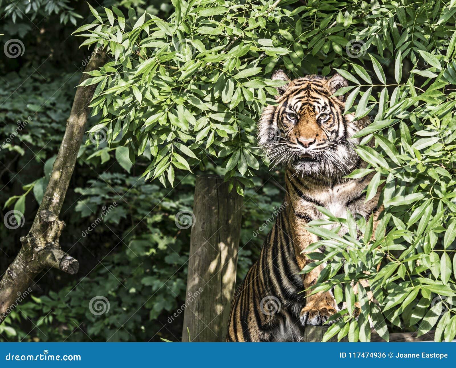 Tigre em uma árvore
