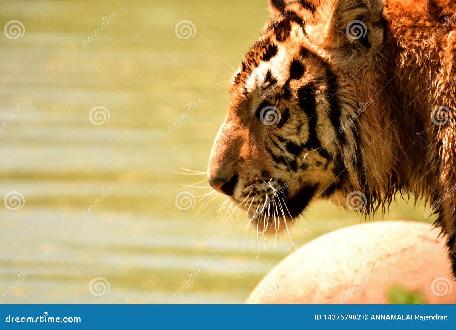Tigre en desierto