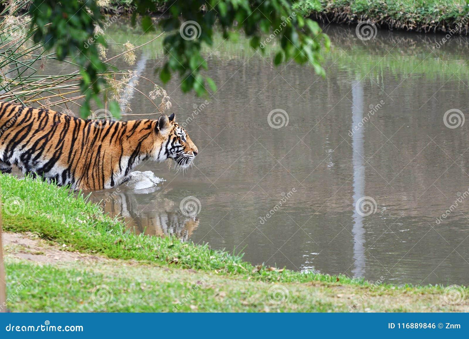 Tigre en la caza