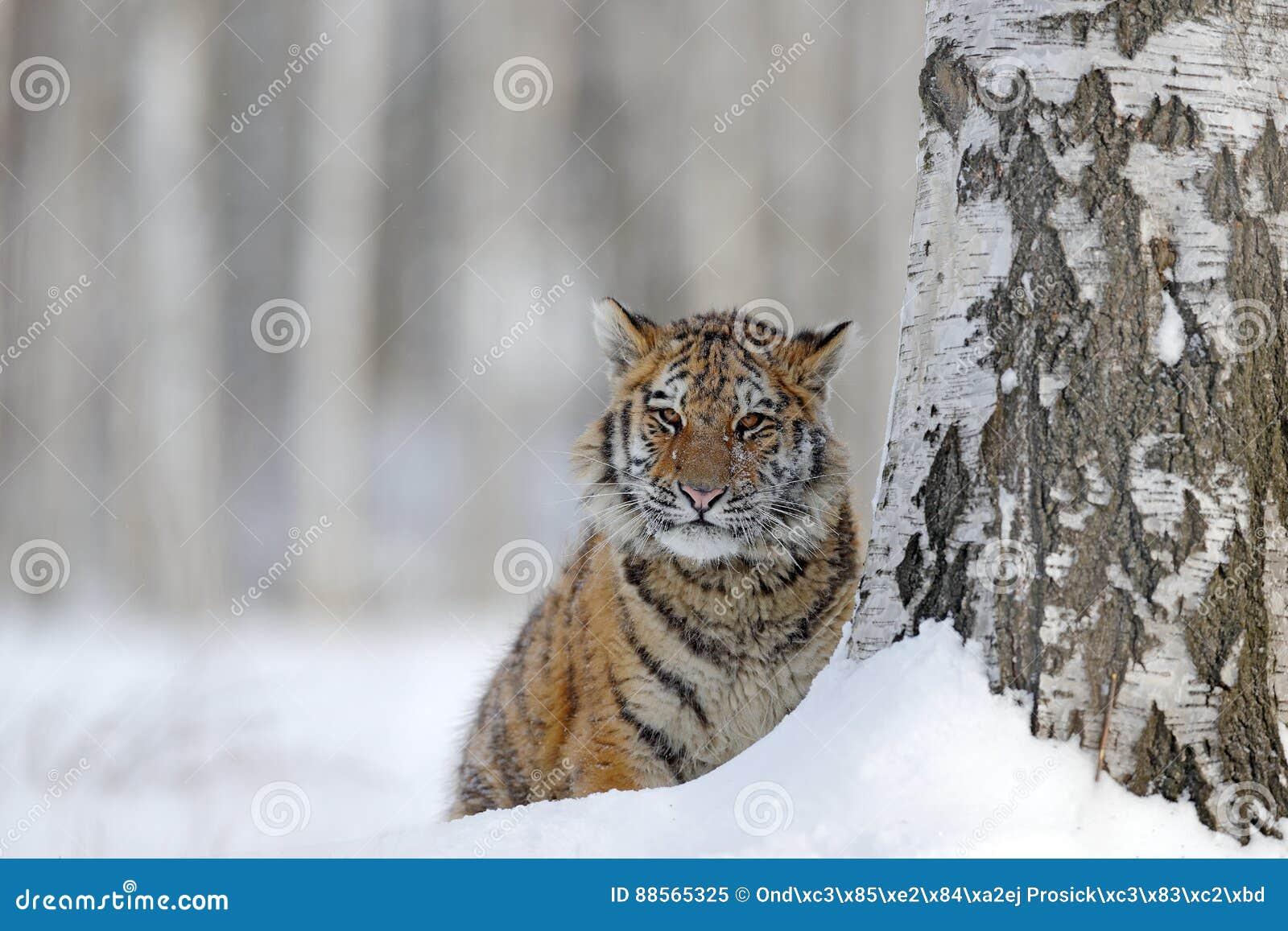 Tigre escondido com cara nevado Tigre na natureza selvagem do inverno Tigre de Amur que corre na neve Cena dos animais selvagens
