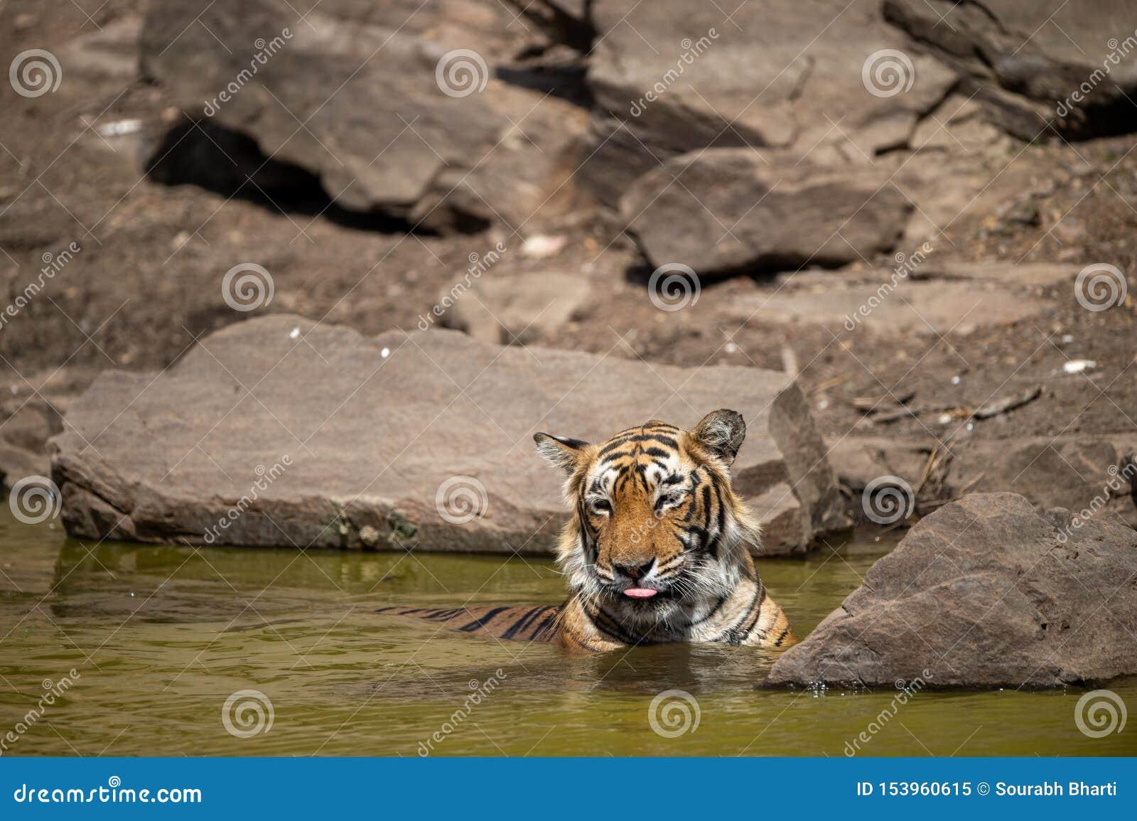 Tigre femenino real de Bengala que descansa en el cuerpo del agua de la selva en el ranthambore