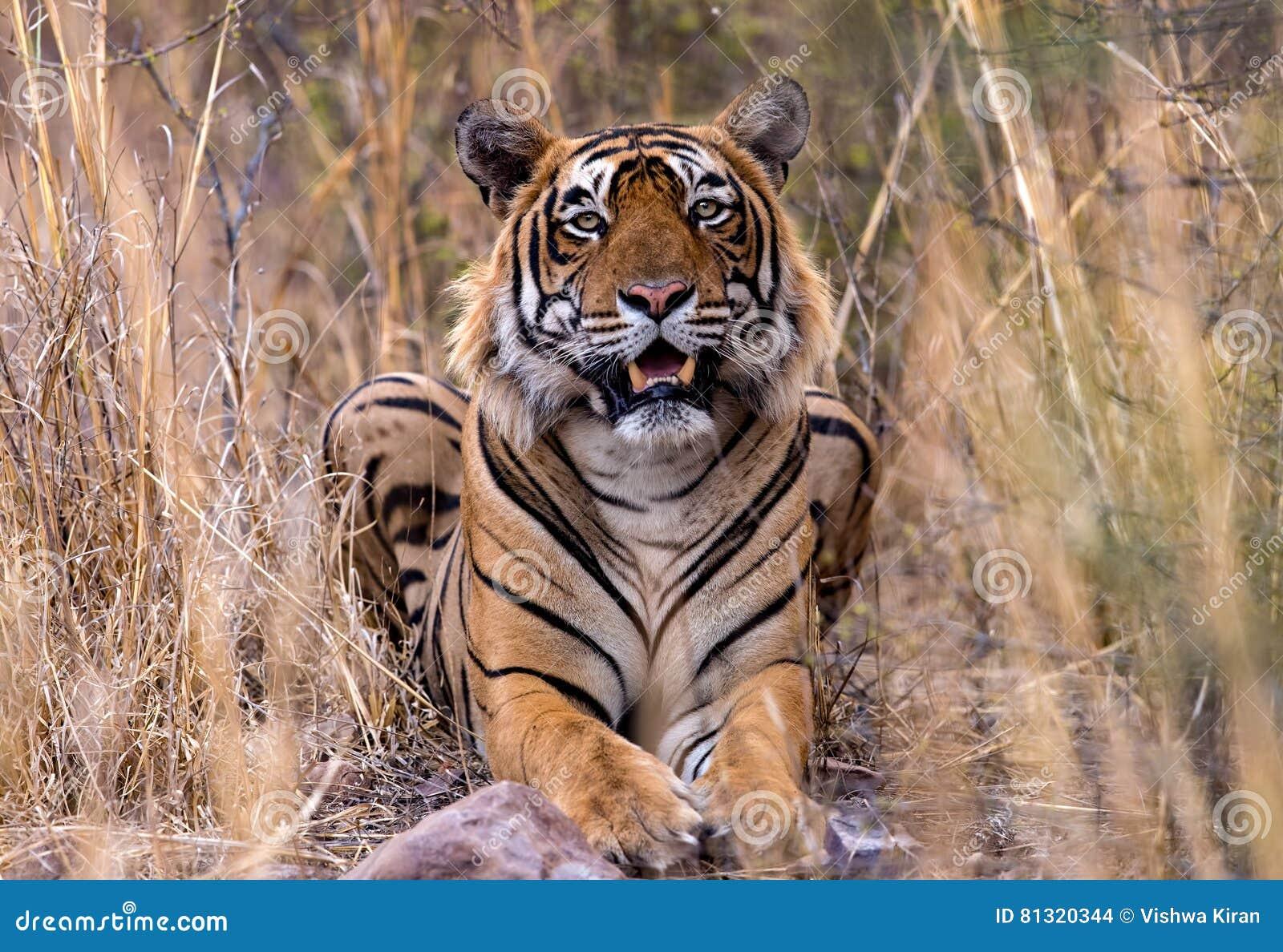 Tigre indien dans sauvage