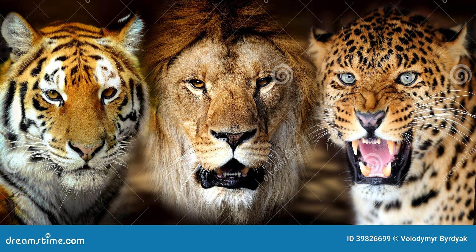 Tigre Le 227 O Leorard Foto De Stock Imagem 39826699